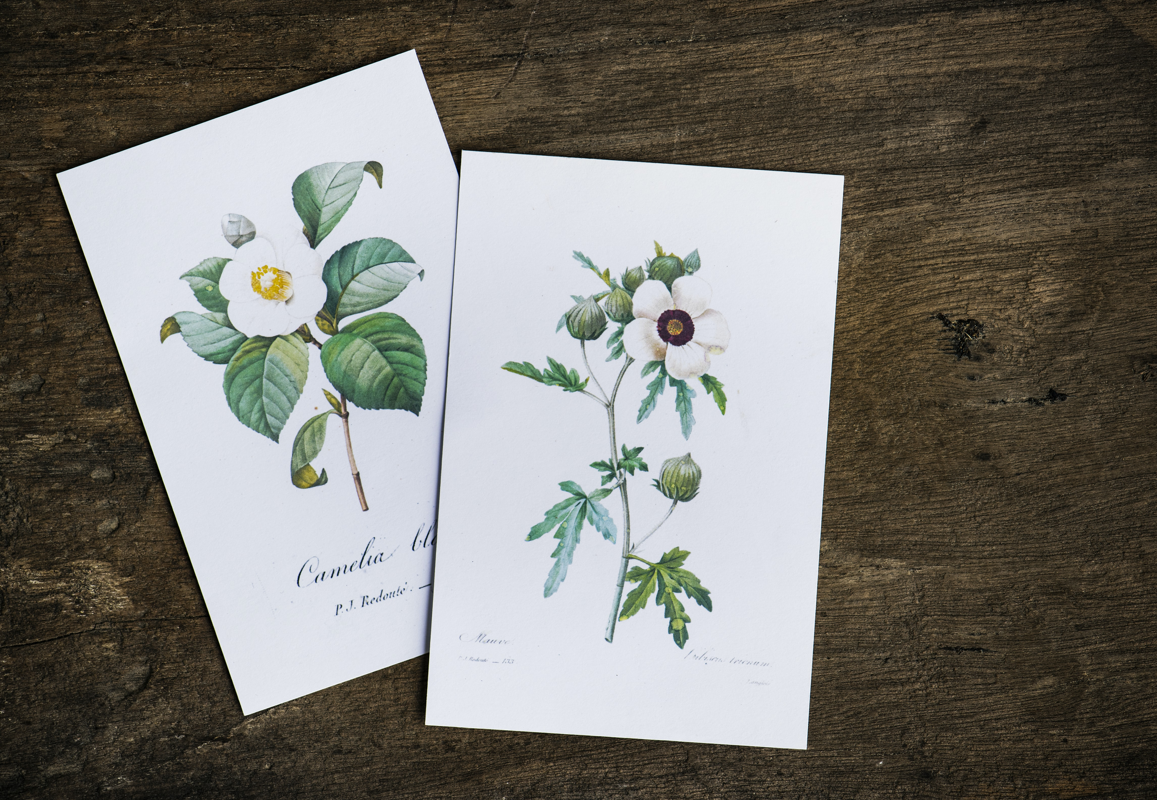 two white flowers illustrations