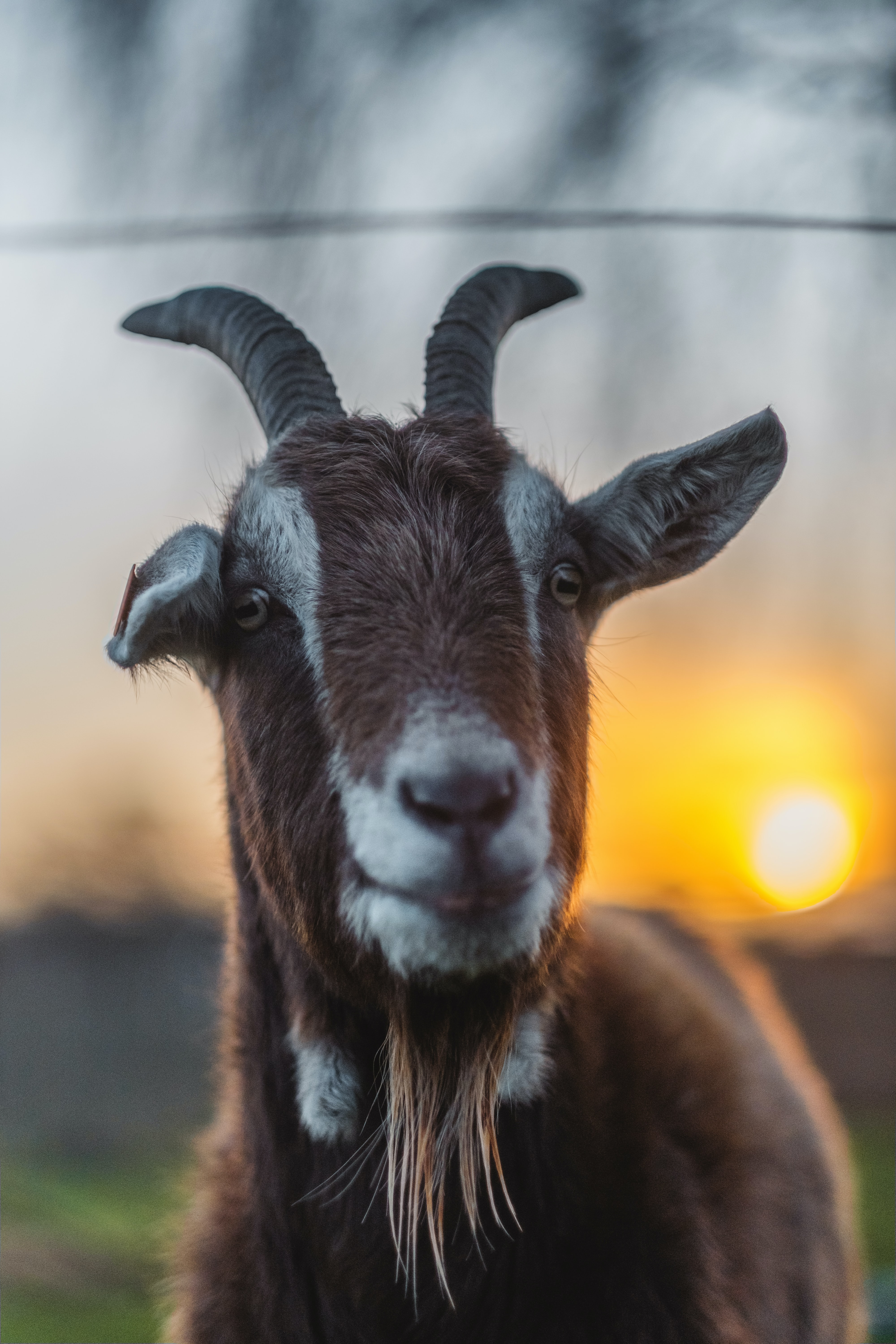 selective focus photo of brown goat