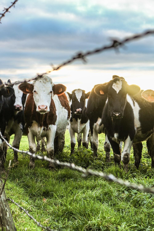 tilt-shift photography of cattle lot
