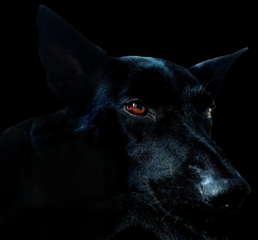 closeup of black dog