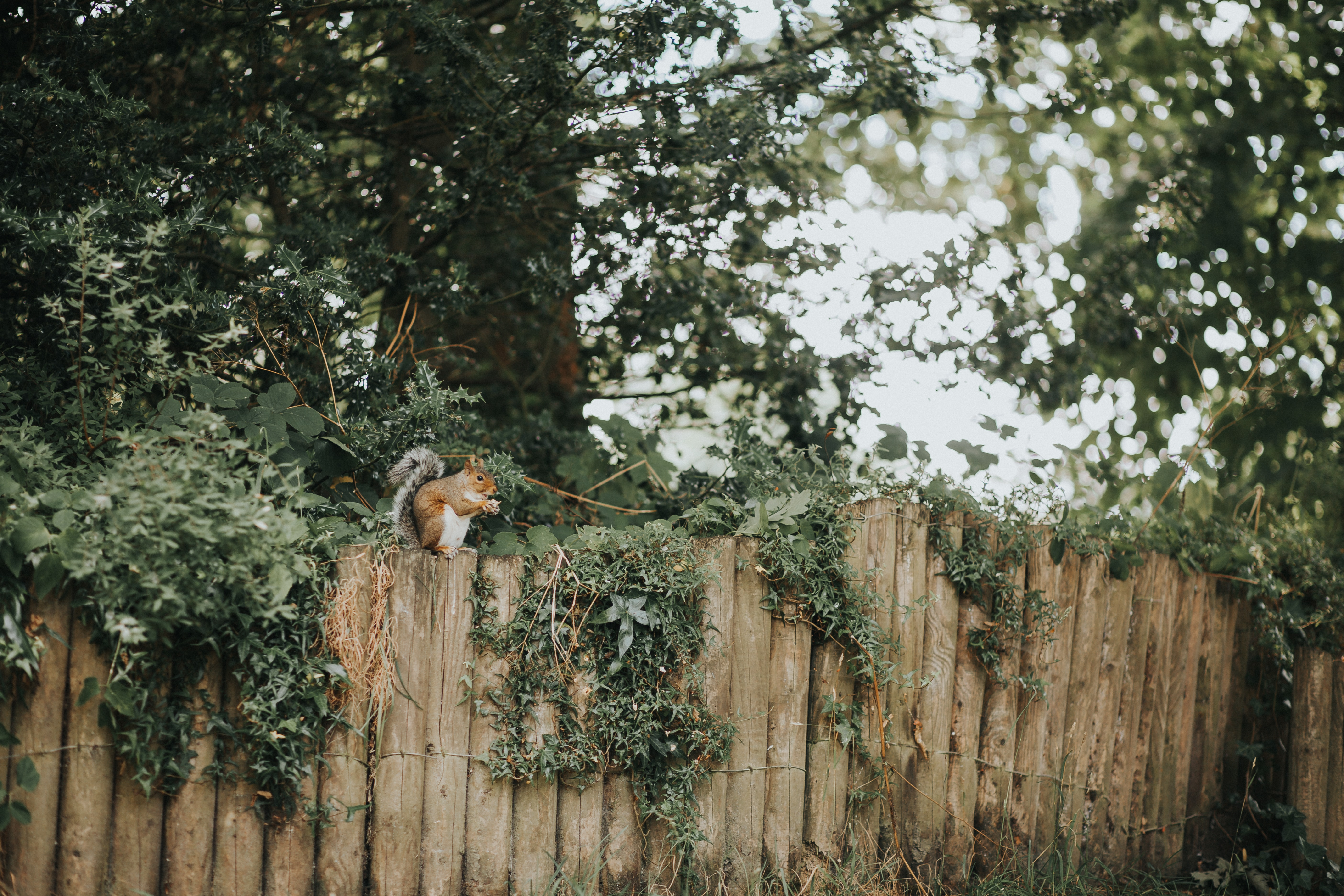 squirrel on wooden fence