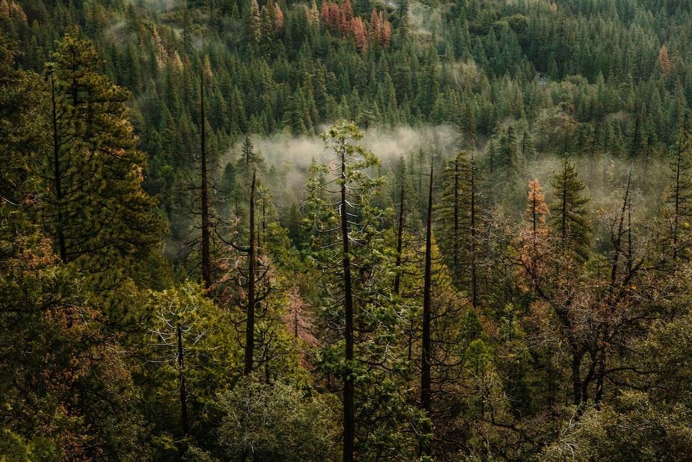 photo of green pine trees