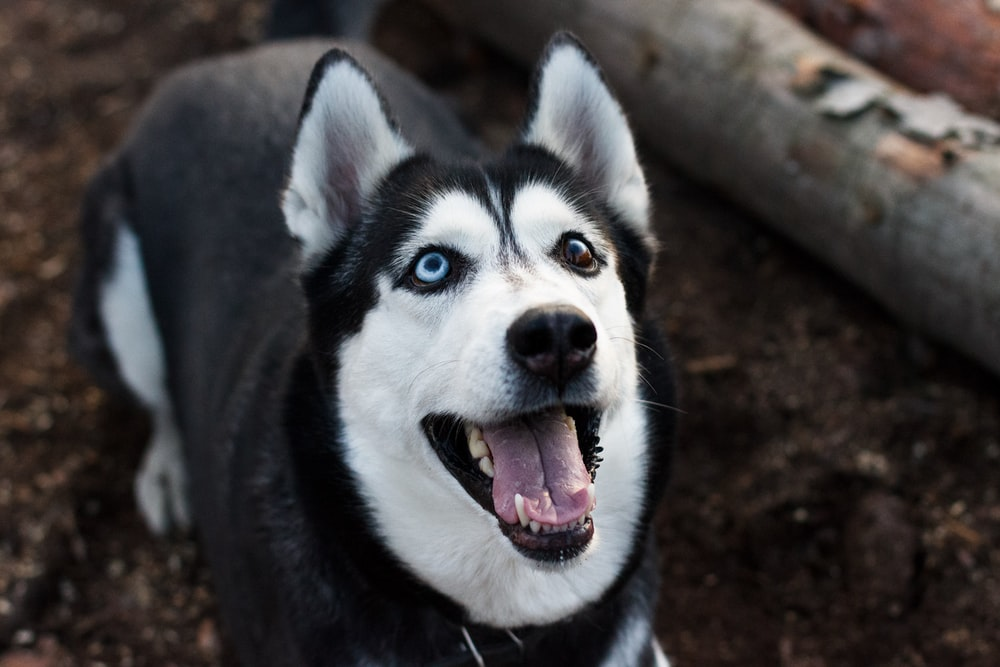 adult black and white Siberian husky standing near brown wooden board