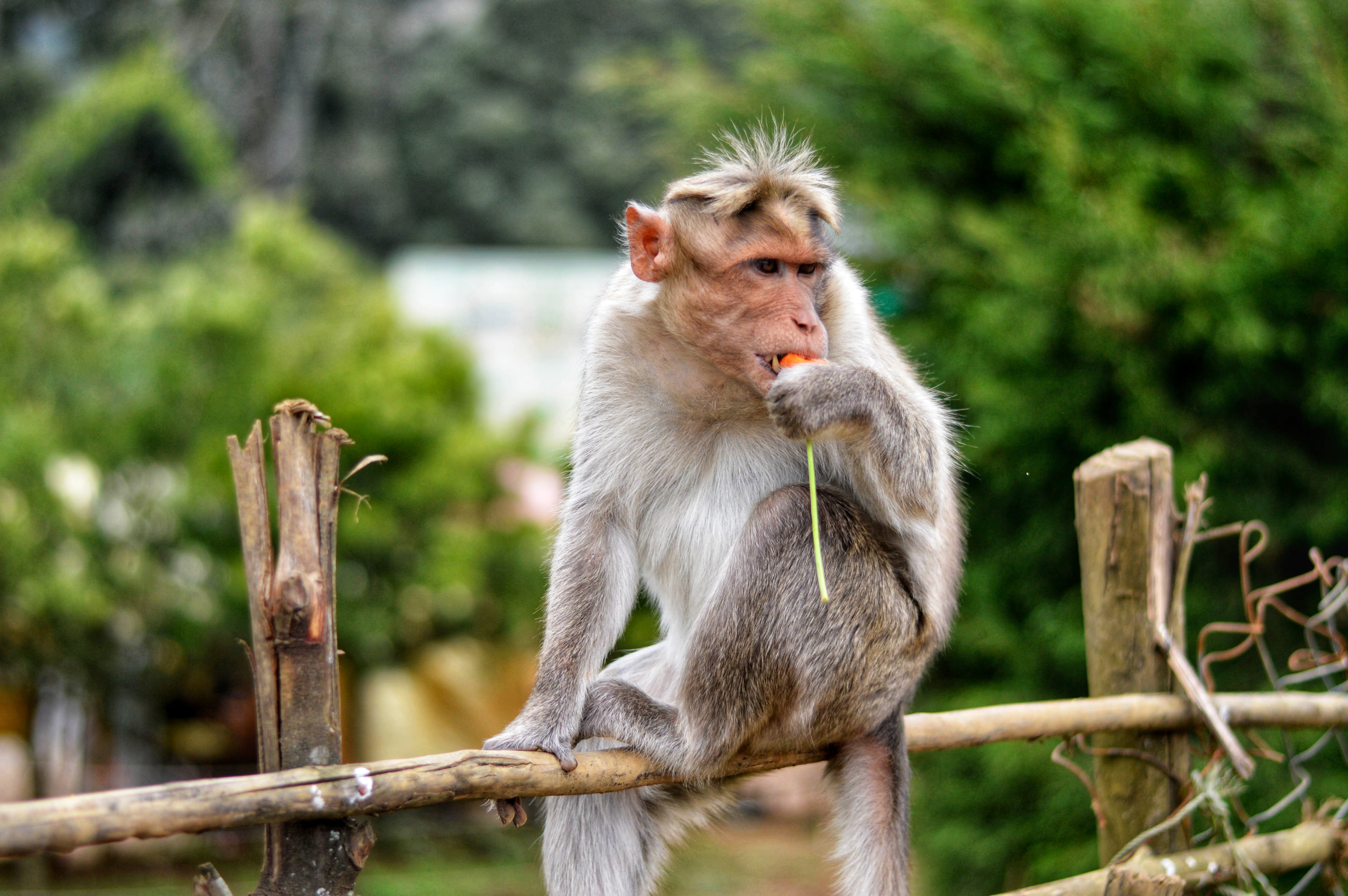 white monkey eating fruit while on brown bamboo fence