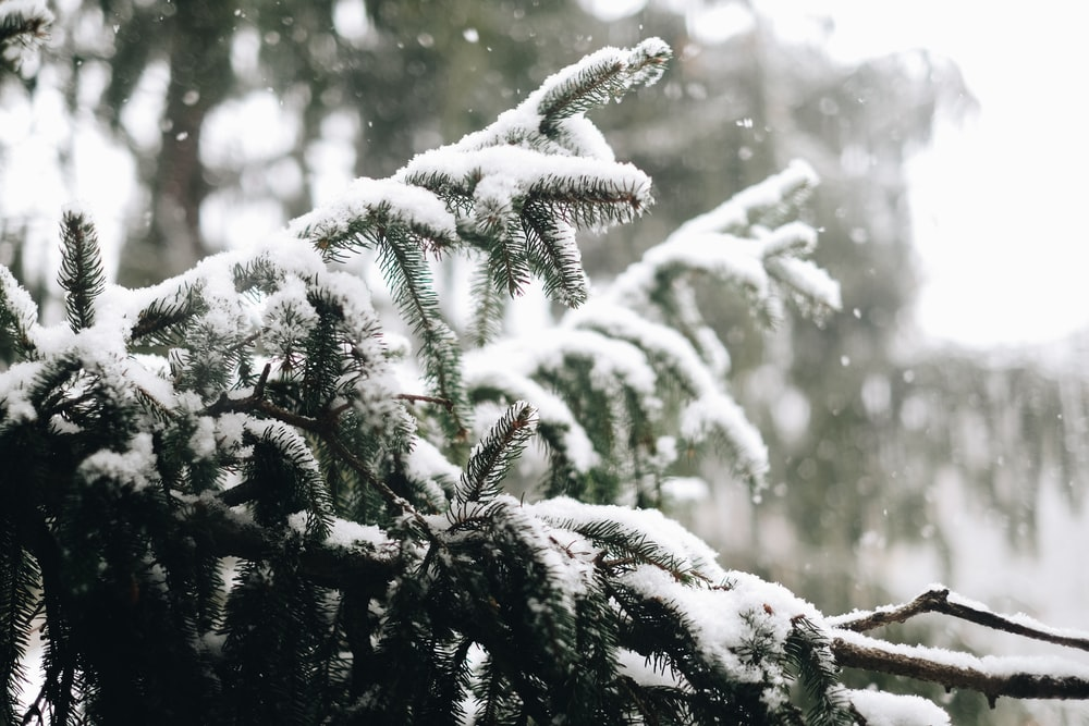 snow covering pine tree