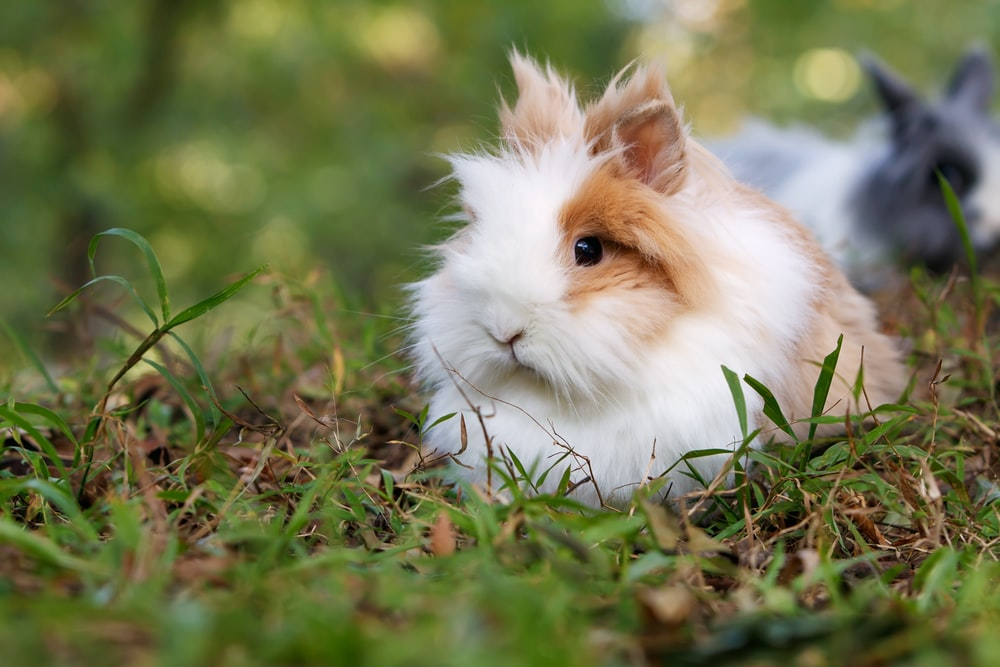 white and brown rabbit on grass fields
