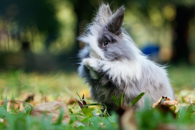 gray lion rabbit on green grass field