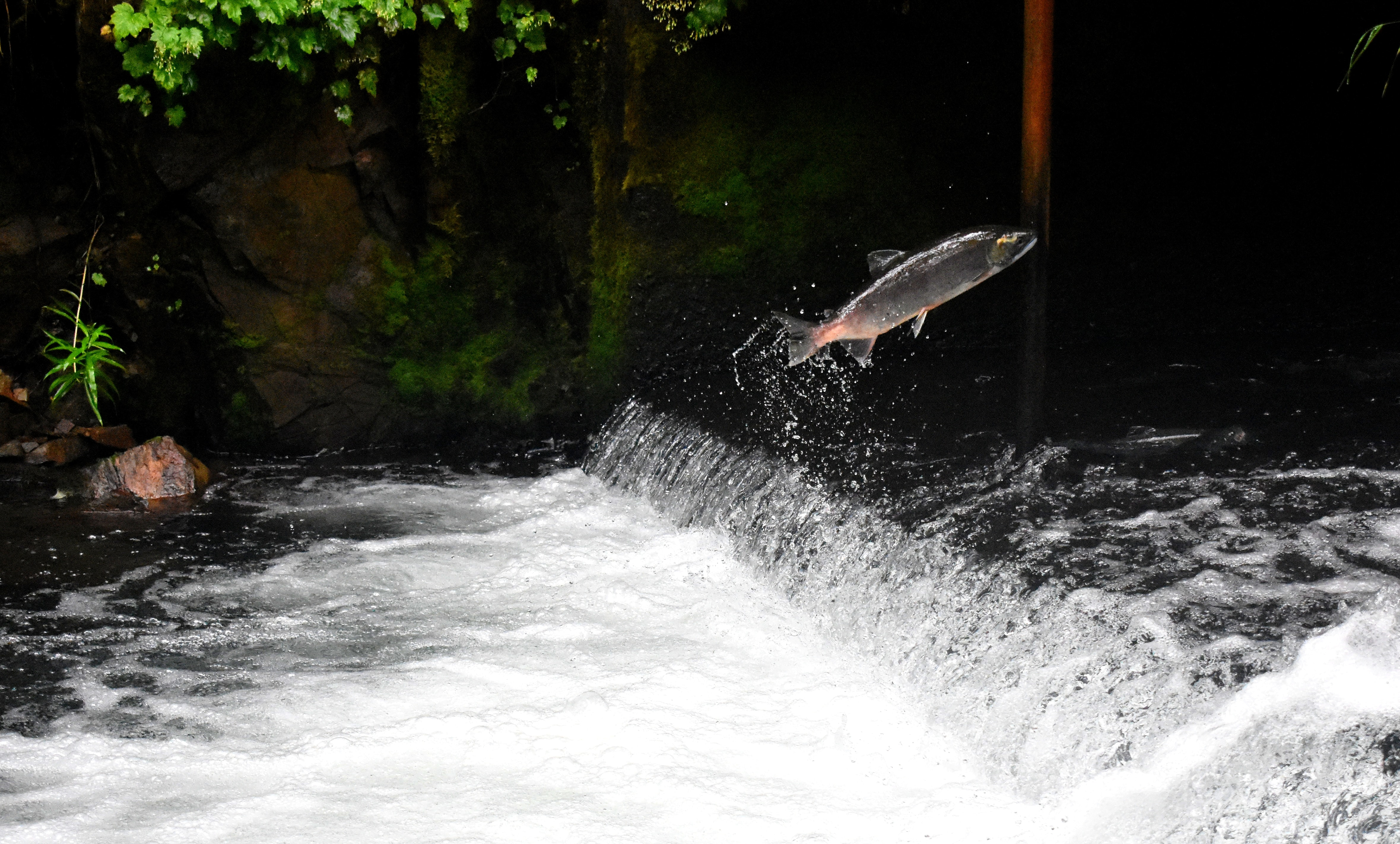 gray fish jumping over body of water surrounded with plants