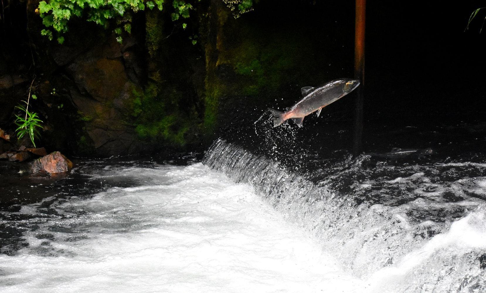 How Long Before These Salmon Are Gone? 'Maybe 20 Years'