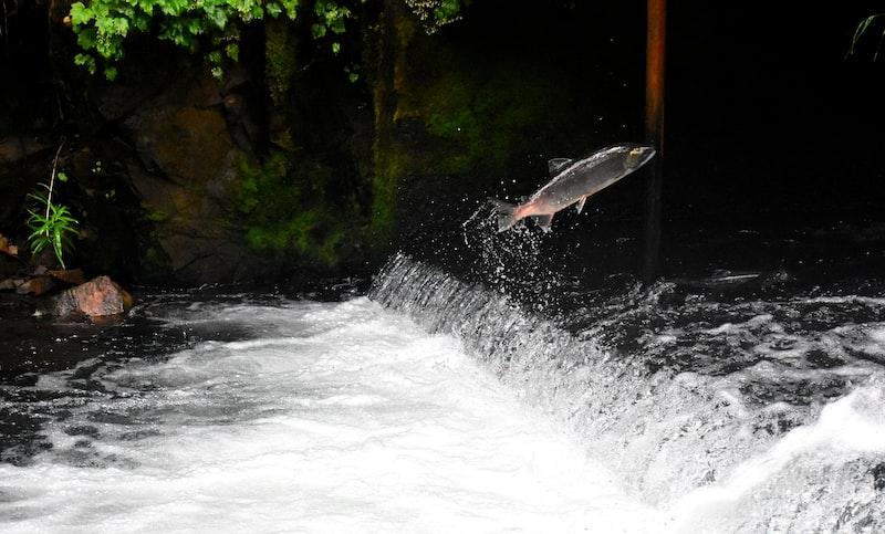 魚類 三文魚 動物森友會 海洋 動物