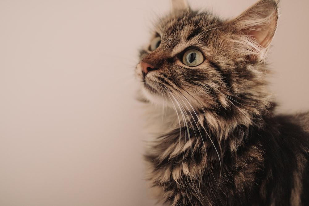 short-fur black and brown kitten