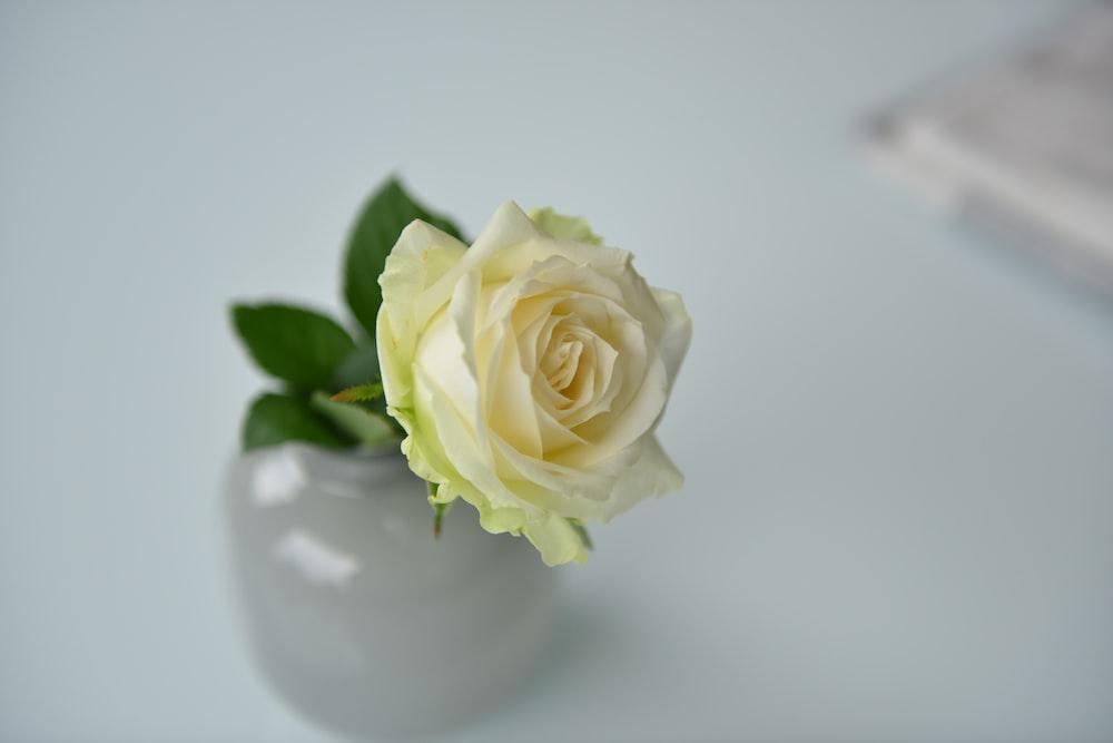 white rose flower close-up photo