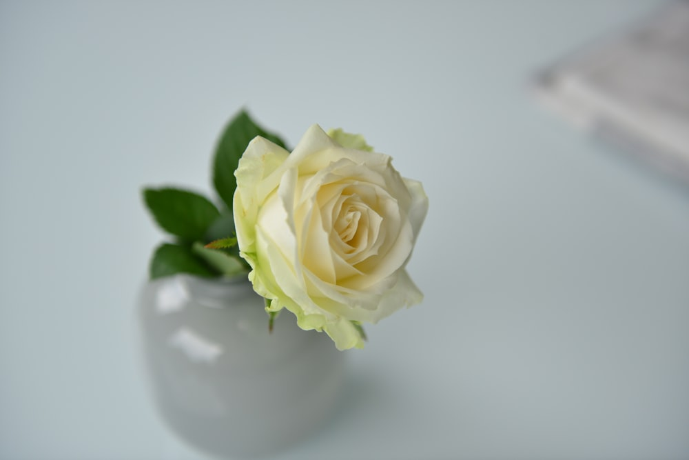 Yellow rose pictures hd download free images on unsplash white rose flower close up photo mightylinksfo