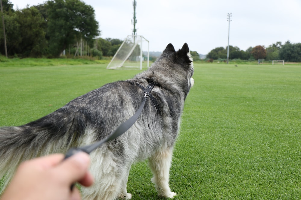 person holding gray leash of long-coated white and gray dog