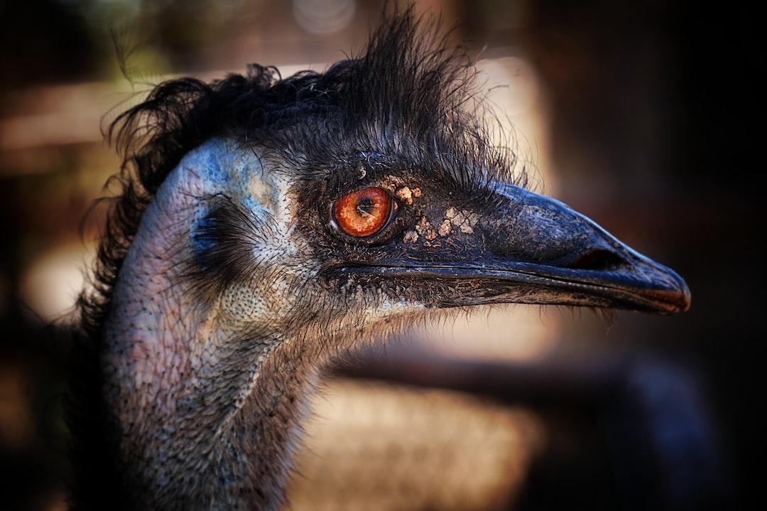 Closeup of an emu