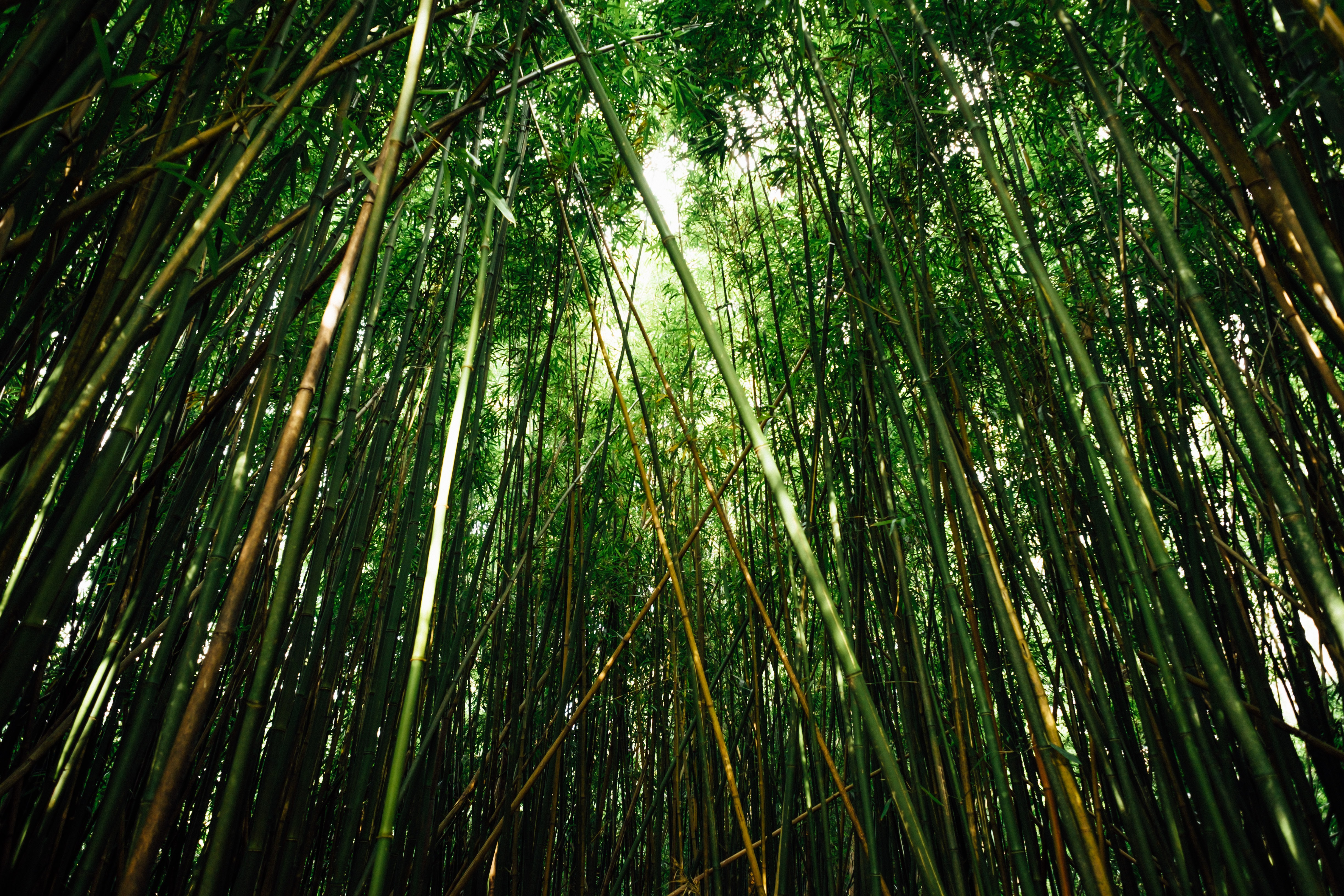 Japanese Bamboos in worm's eye view photography