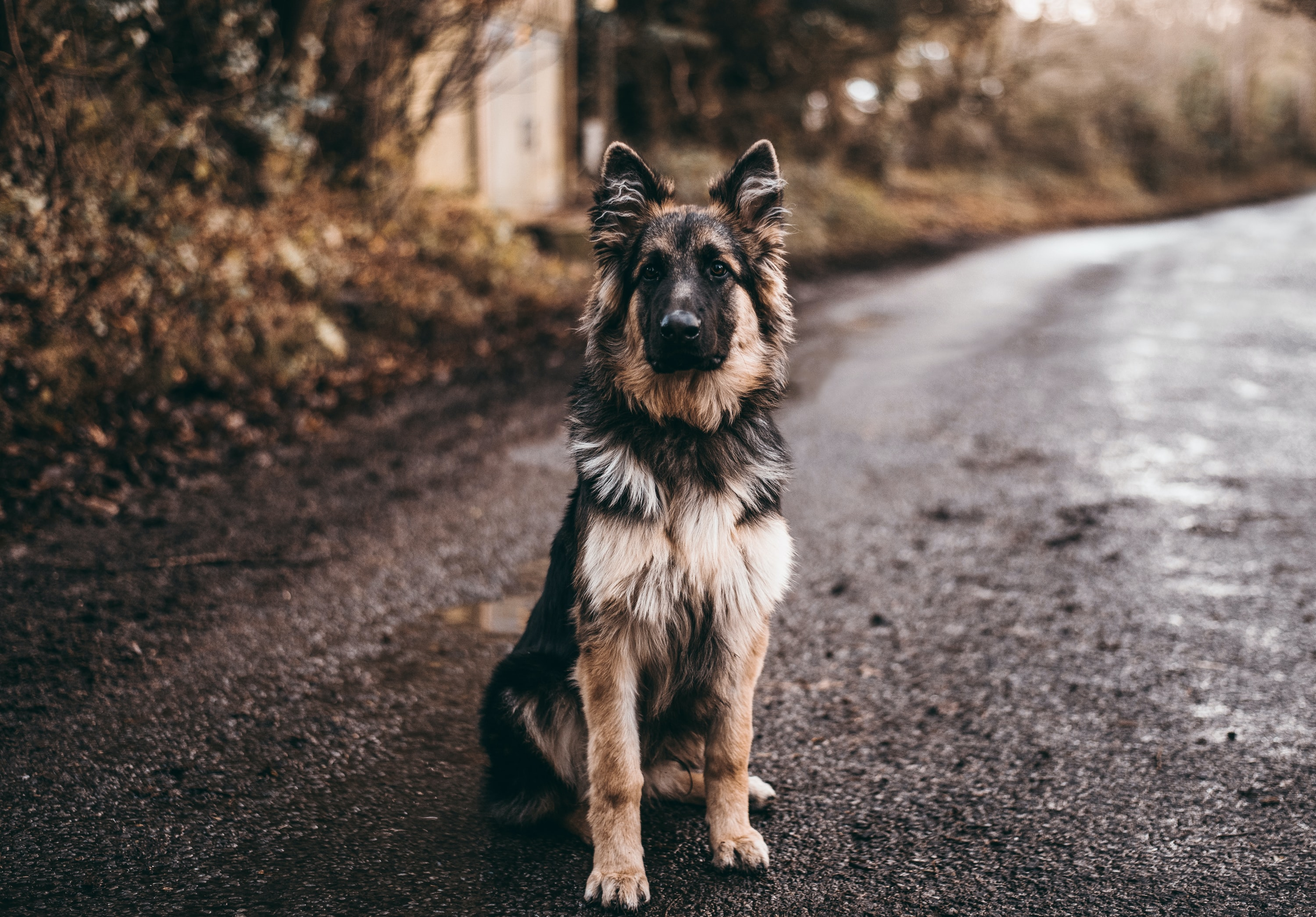 German shepherd sitting on road near bushes