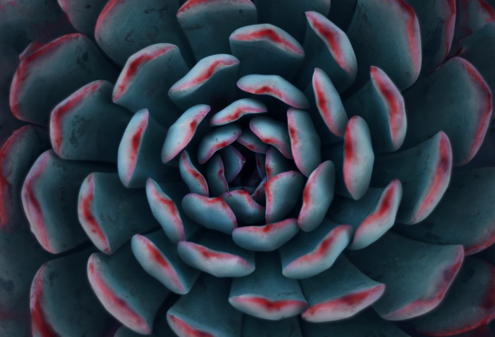 teal and red succulent plant