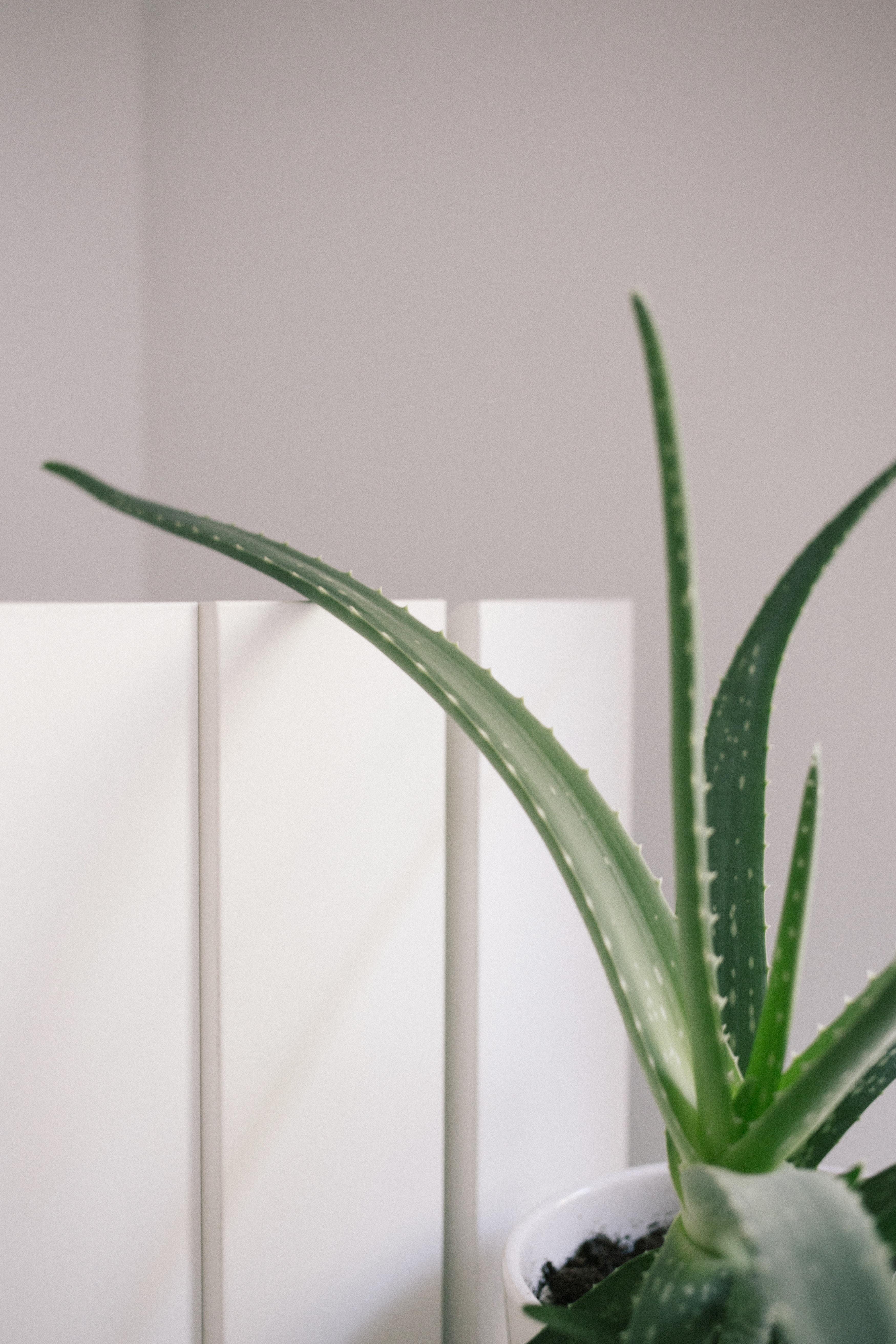 Aloe vera plant on pot near wall