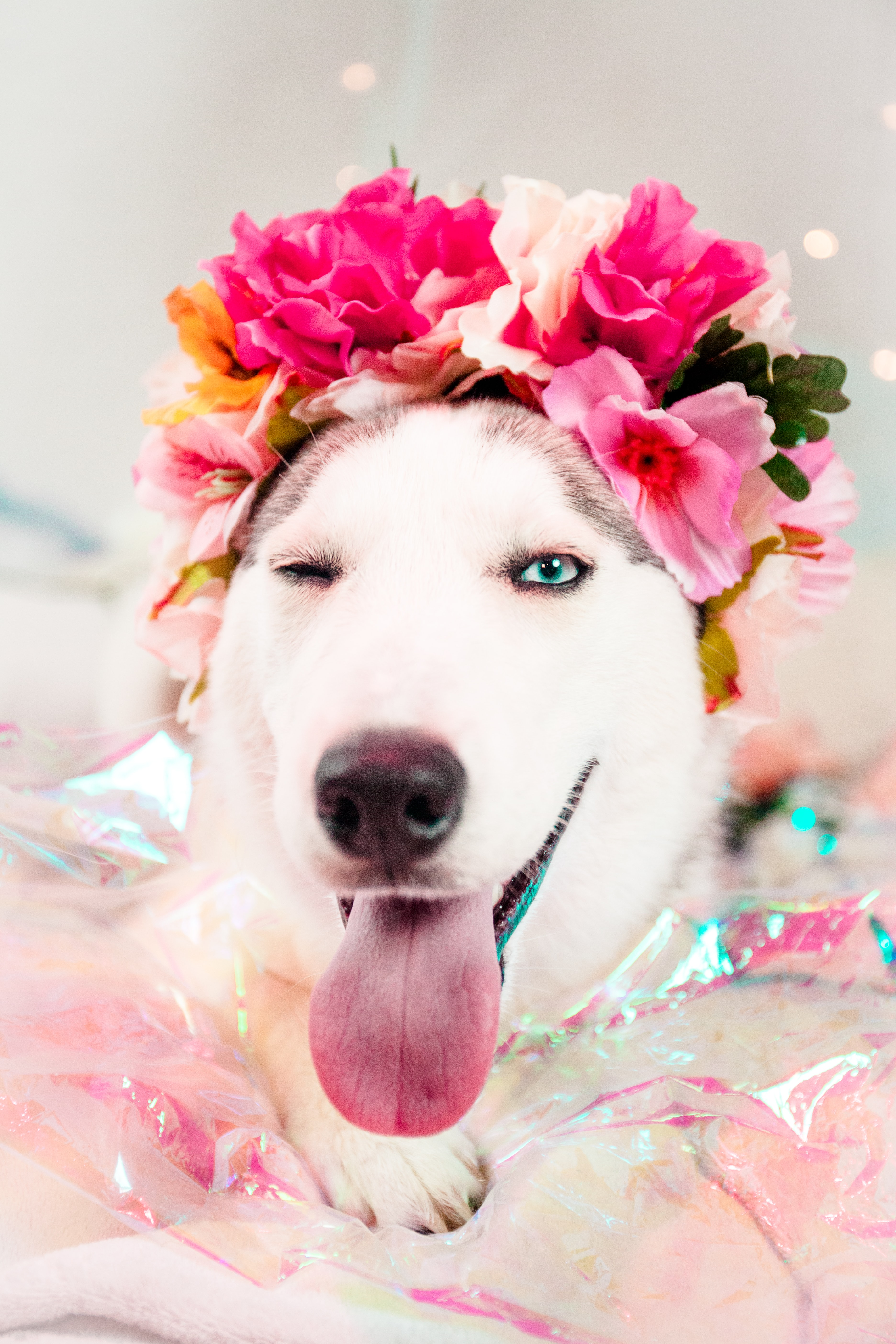 white and gray Siberian husky with floral headdress lying on bed