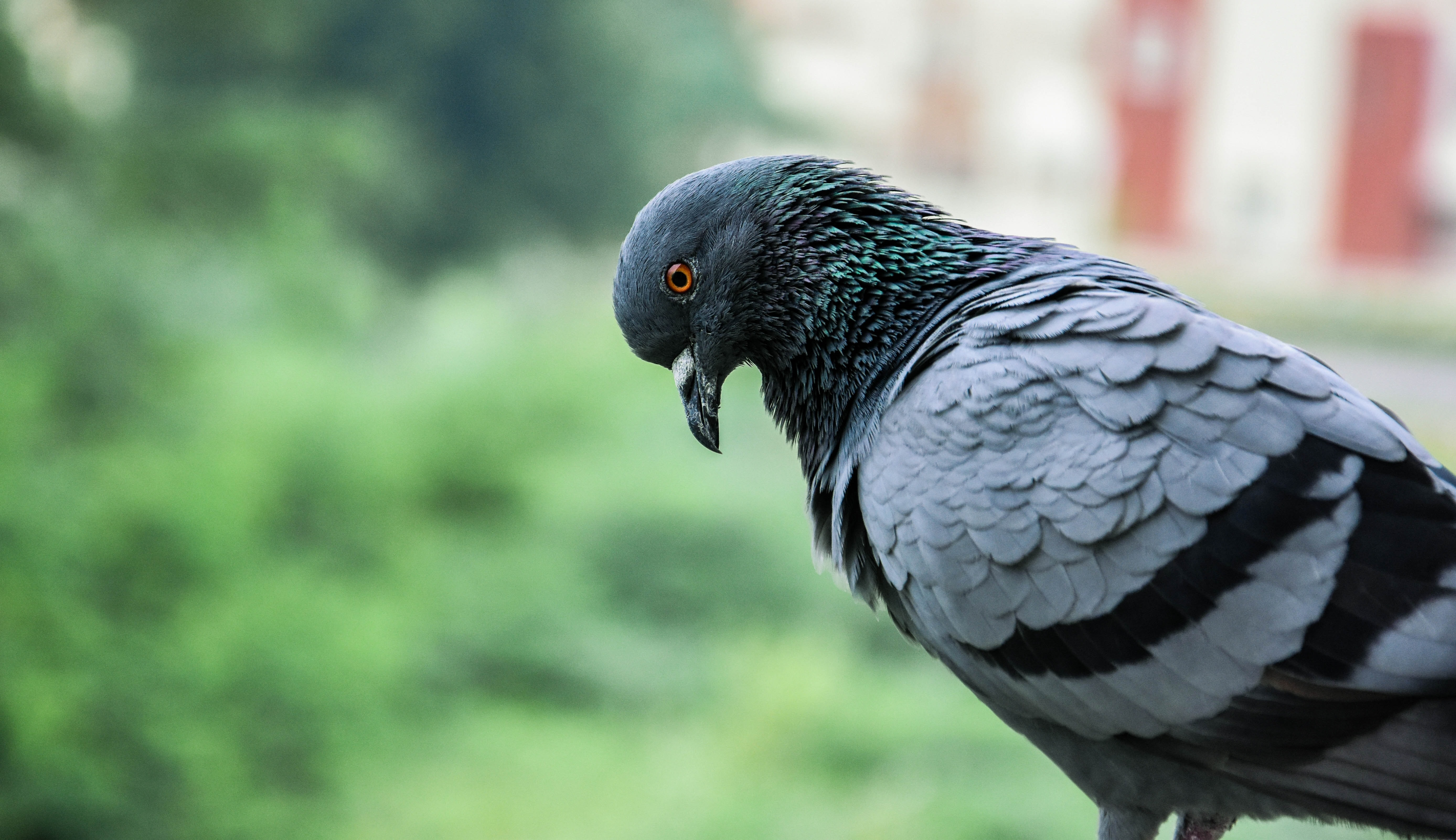 selective focus photography of pigeon