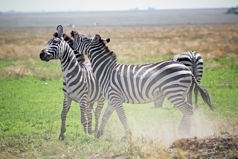 three zebras playing on green grass field during daytime
