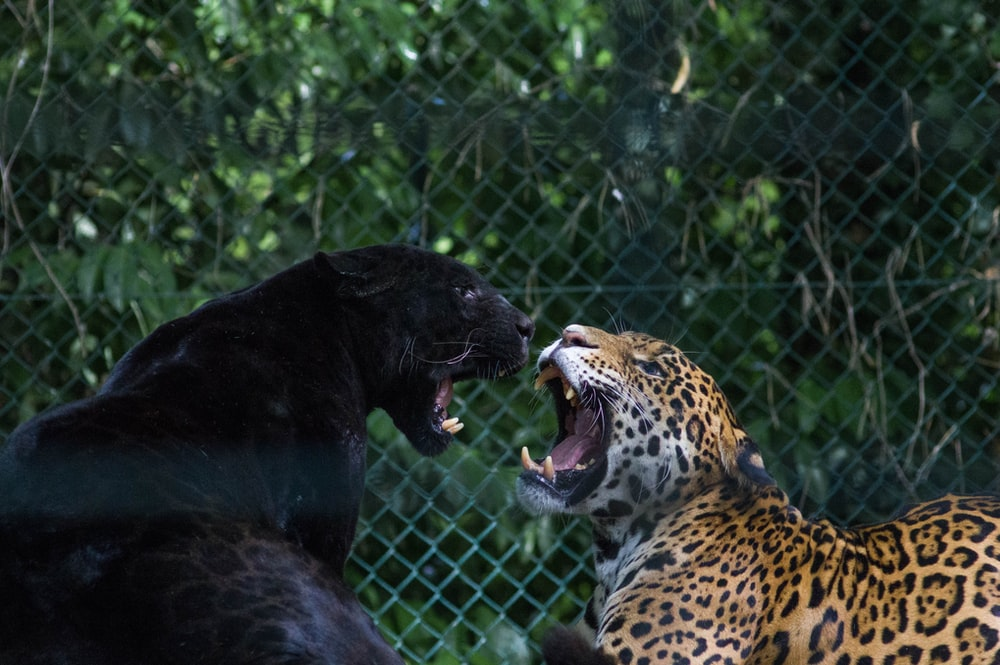 black jaguar and brown and black leopard fighting