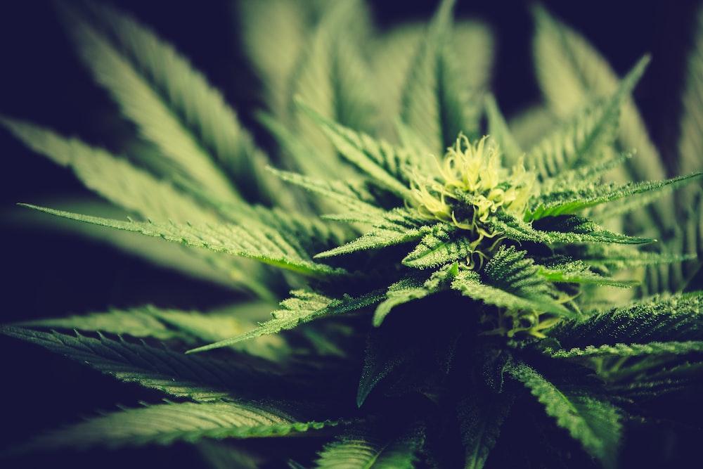green cannabis