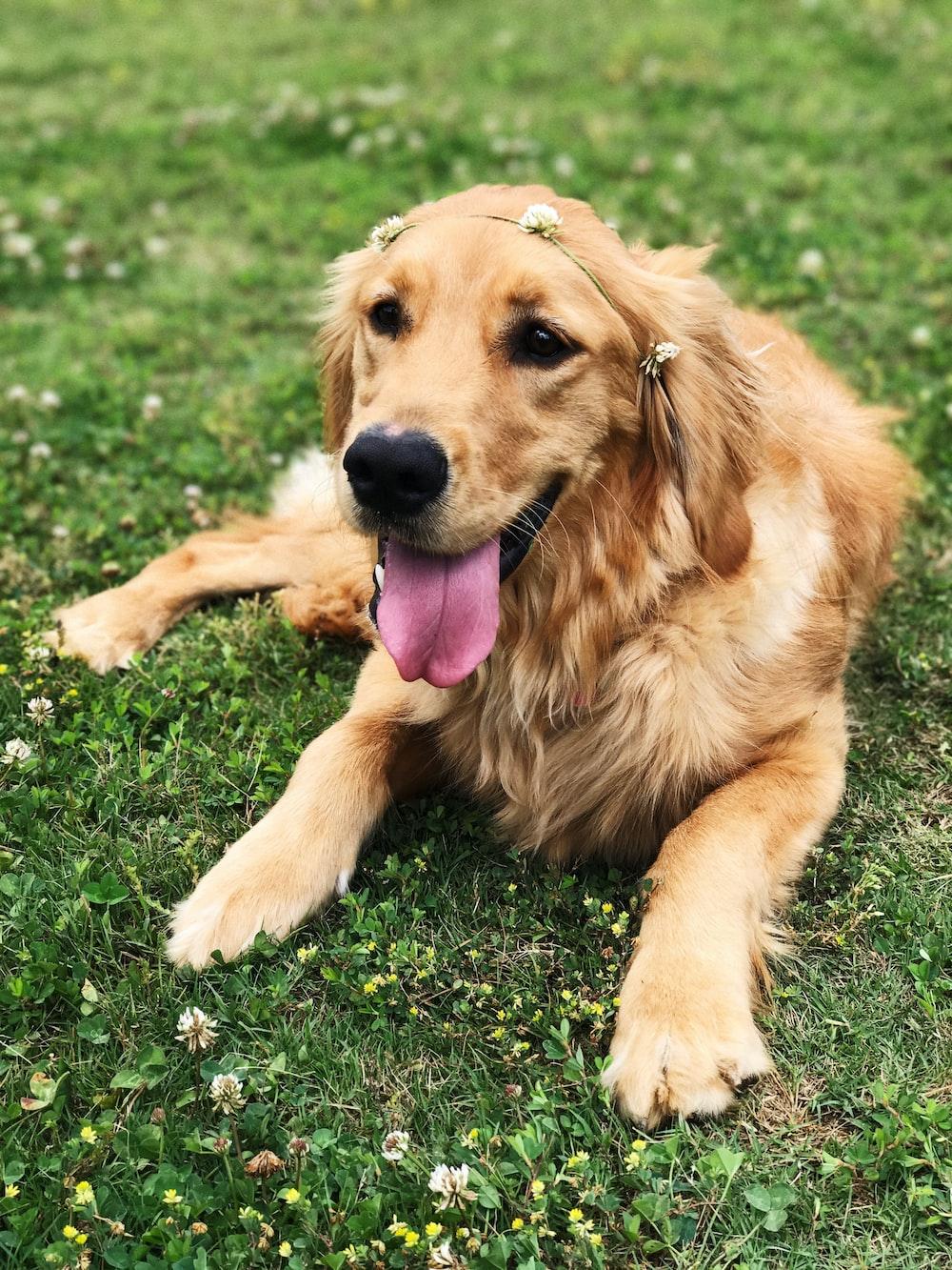 golden retriever sitting on green grass