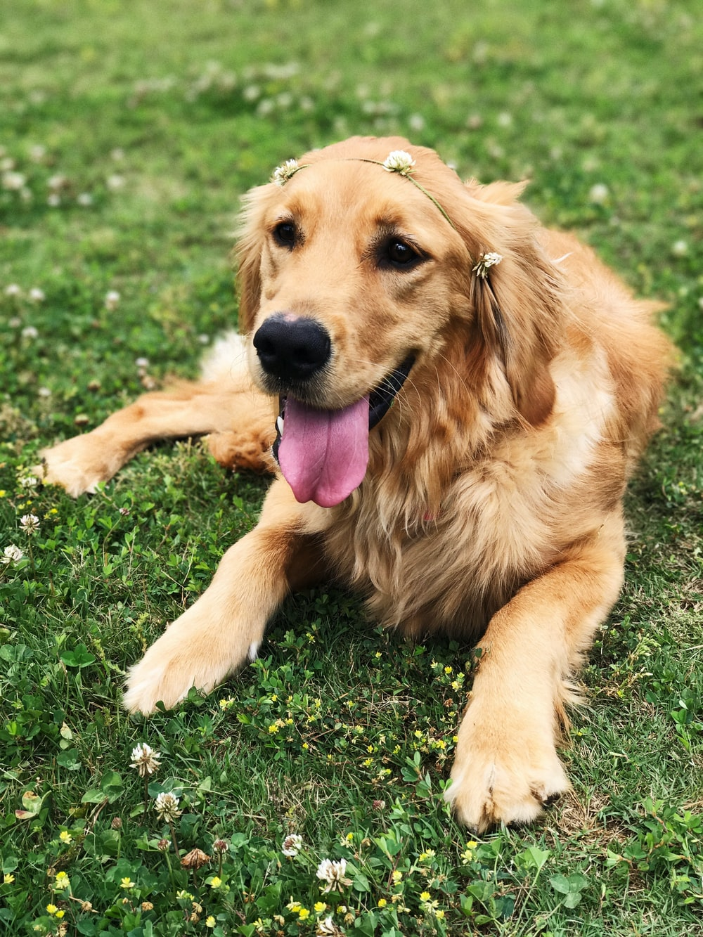 golden retriever sitting on green grass