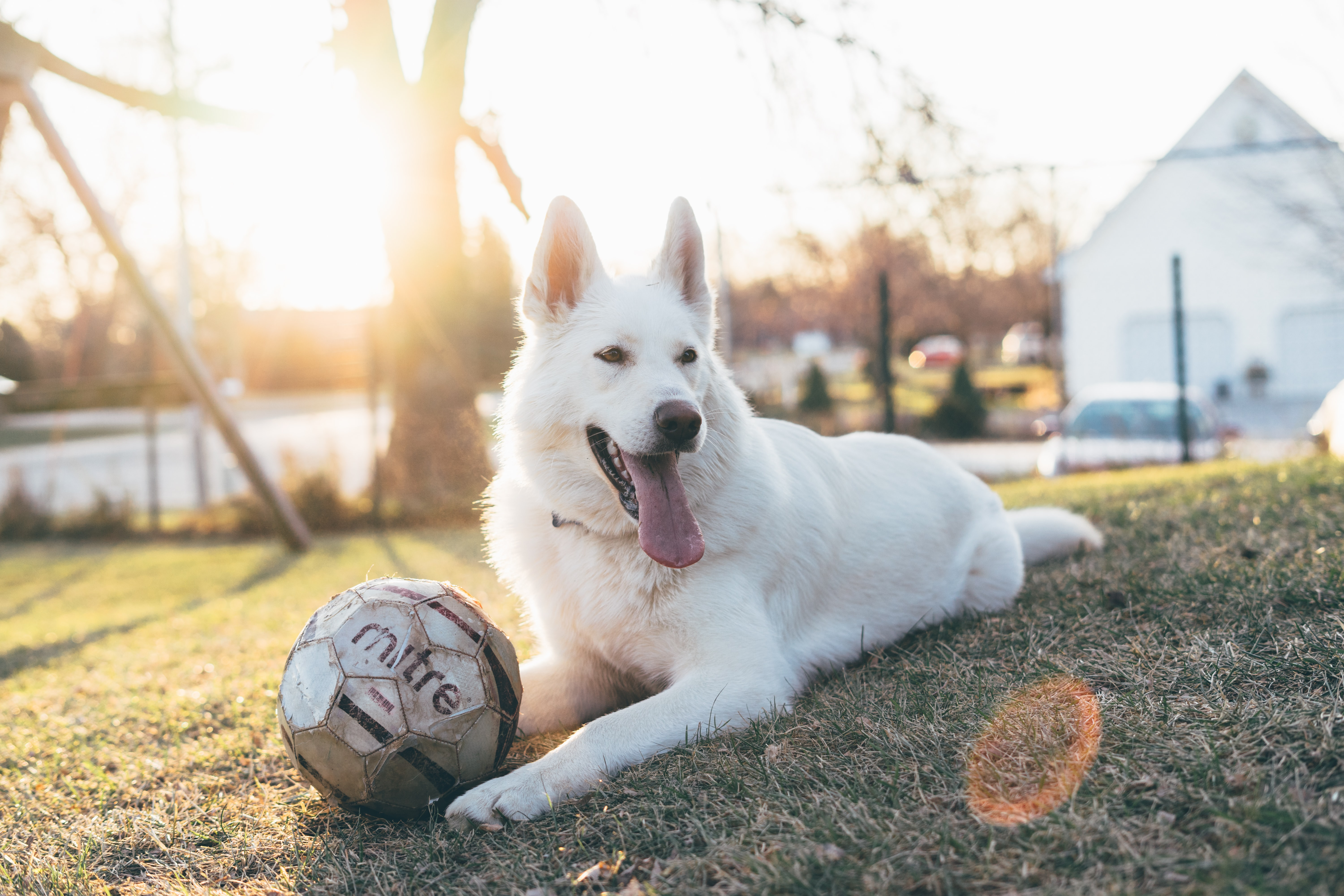 shallow focus photo of white dog beside gray soccerball outdoors