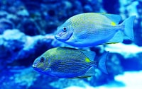 two yellow-and-blue fish