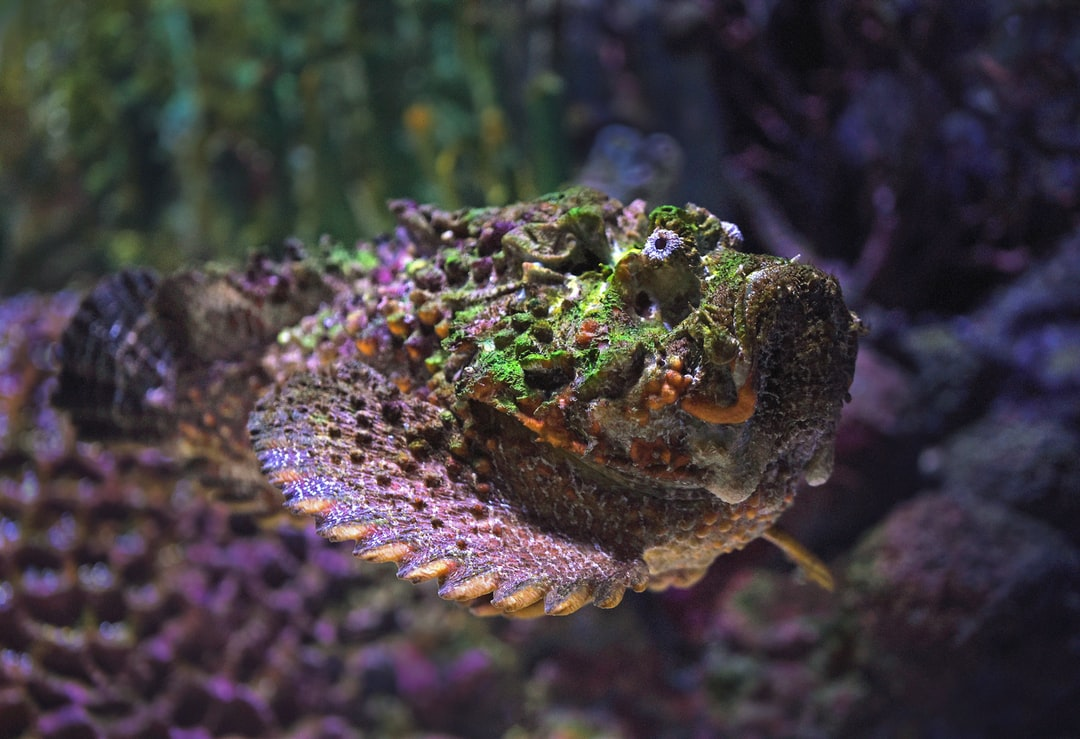 Stonefish are well camouflaged on the reef and wait for small fish to come close and then engulf them. They have an extremely painful sting if you step on them.