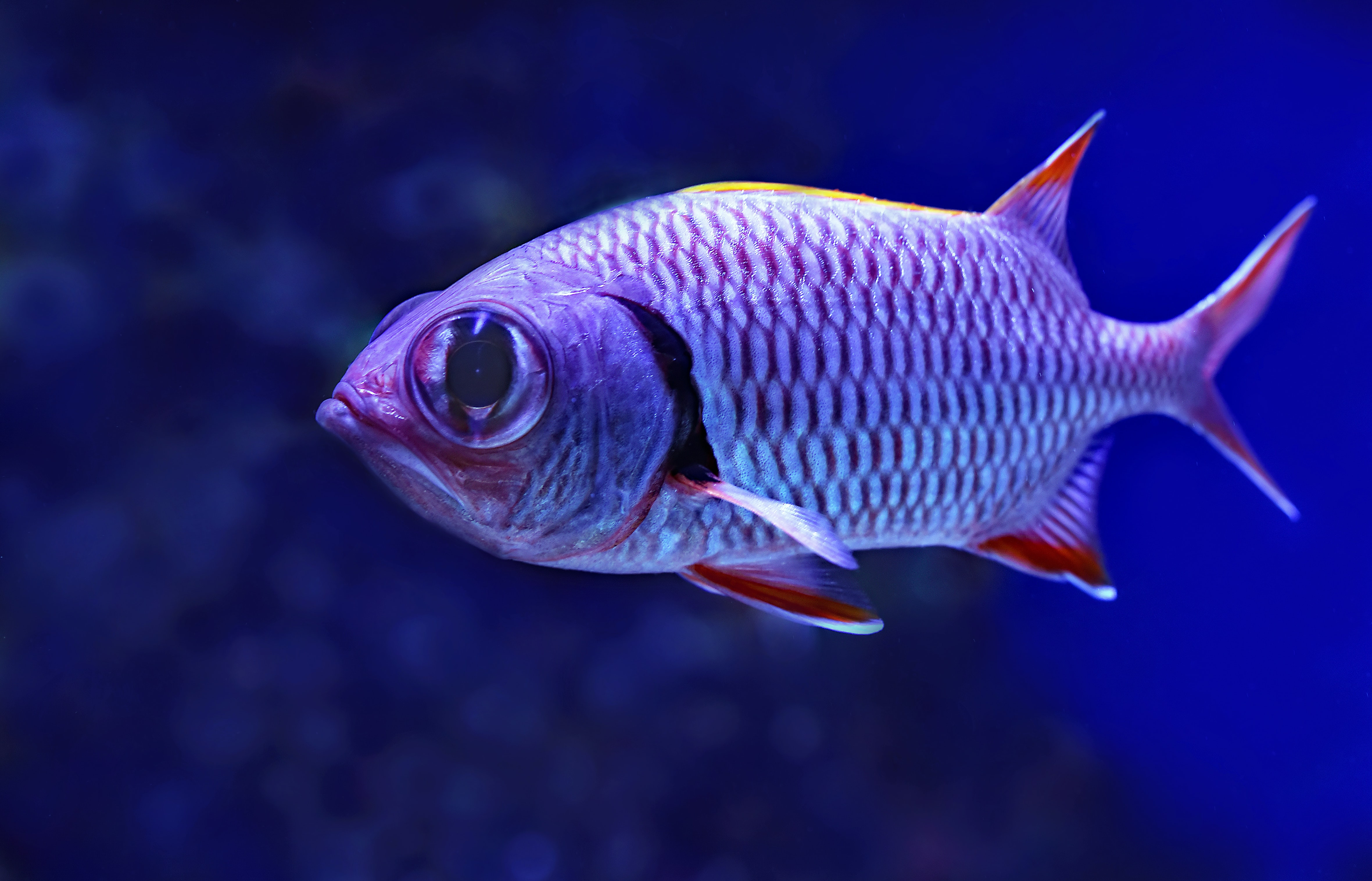 close-up photography of grey and red fish