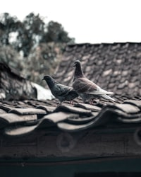 two gray pigeons on roof