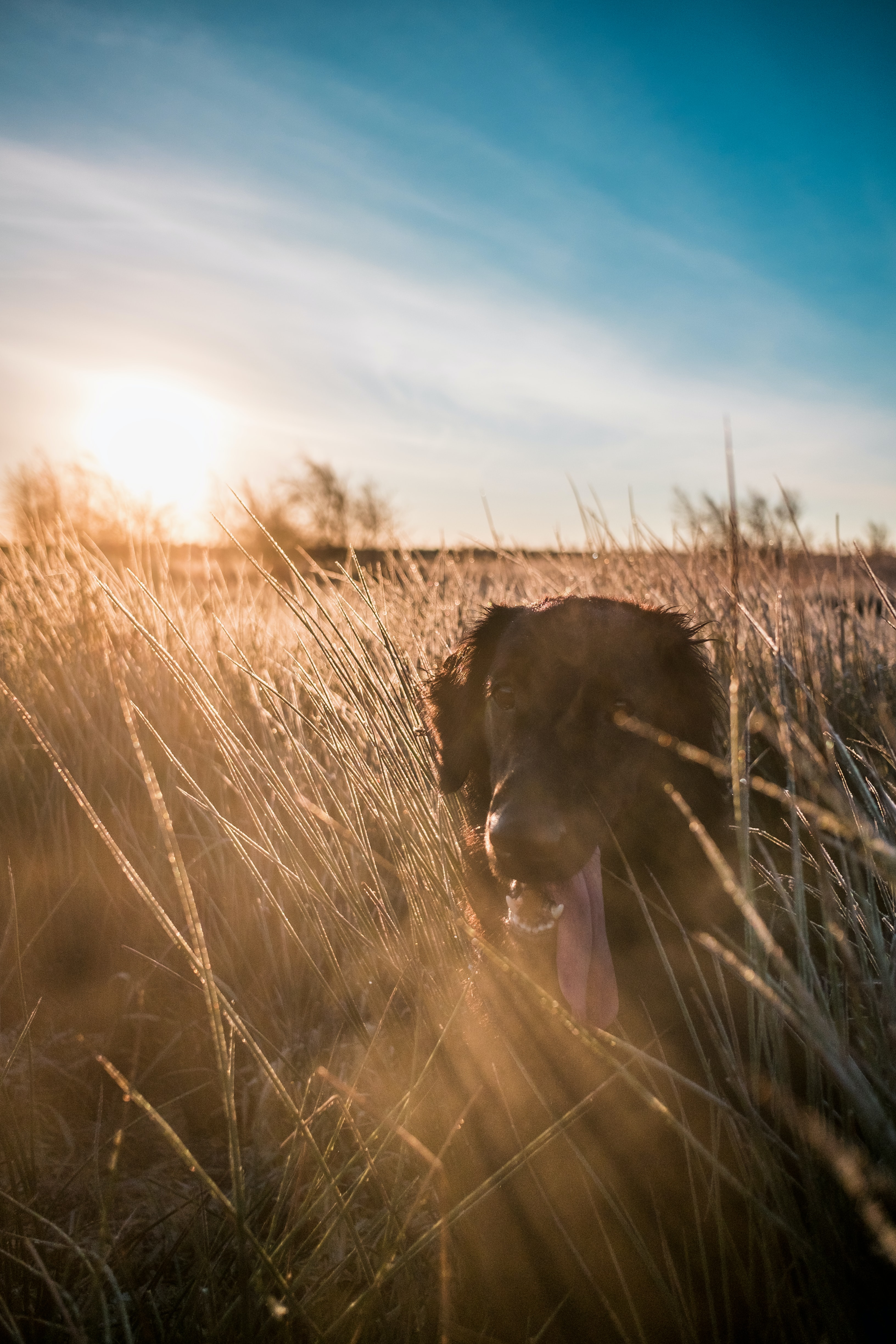 adult flat-coated retriever on grass during sunset