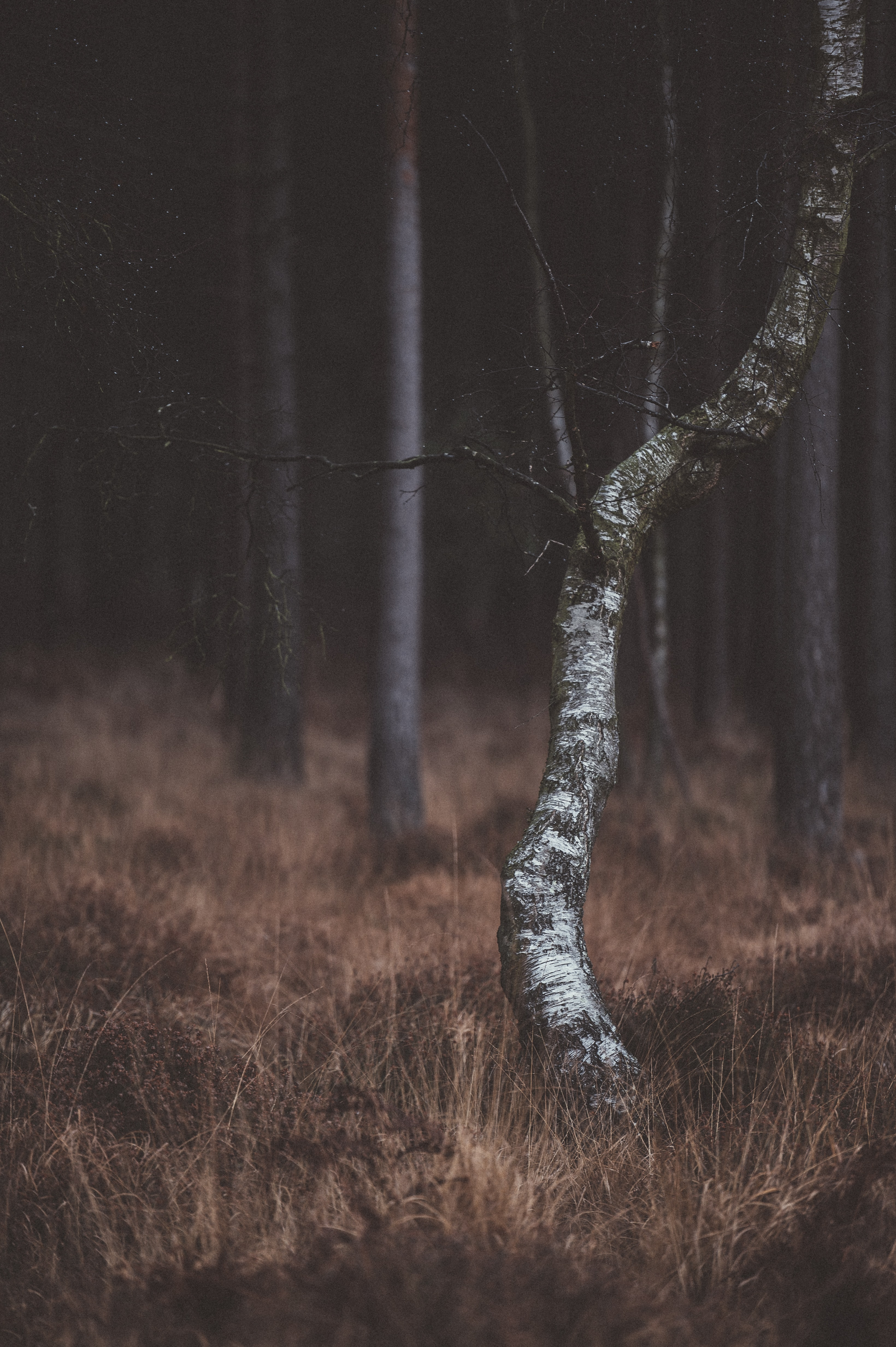 selective photography of birch trees photography
