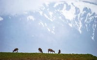 four brown animals eating grass during daytime