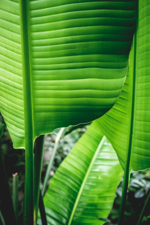 selective focus photo of green banana leaves
