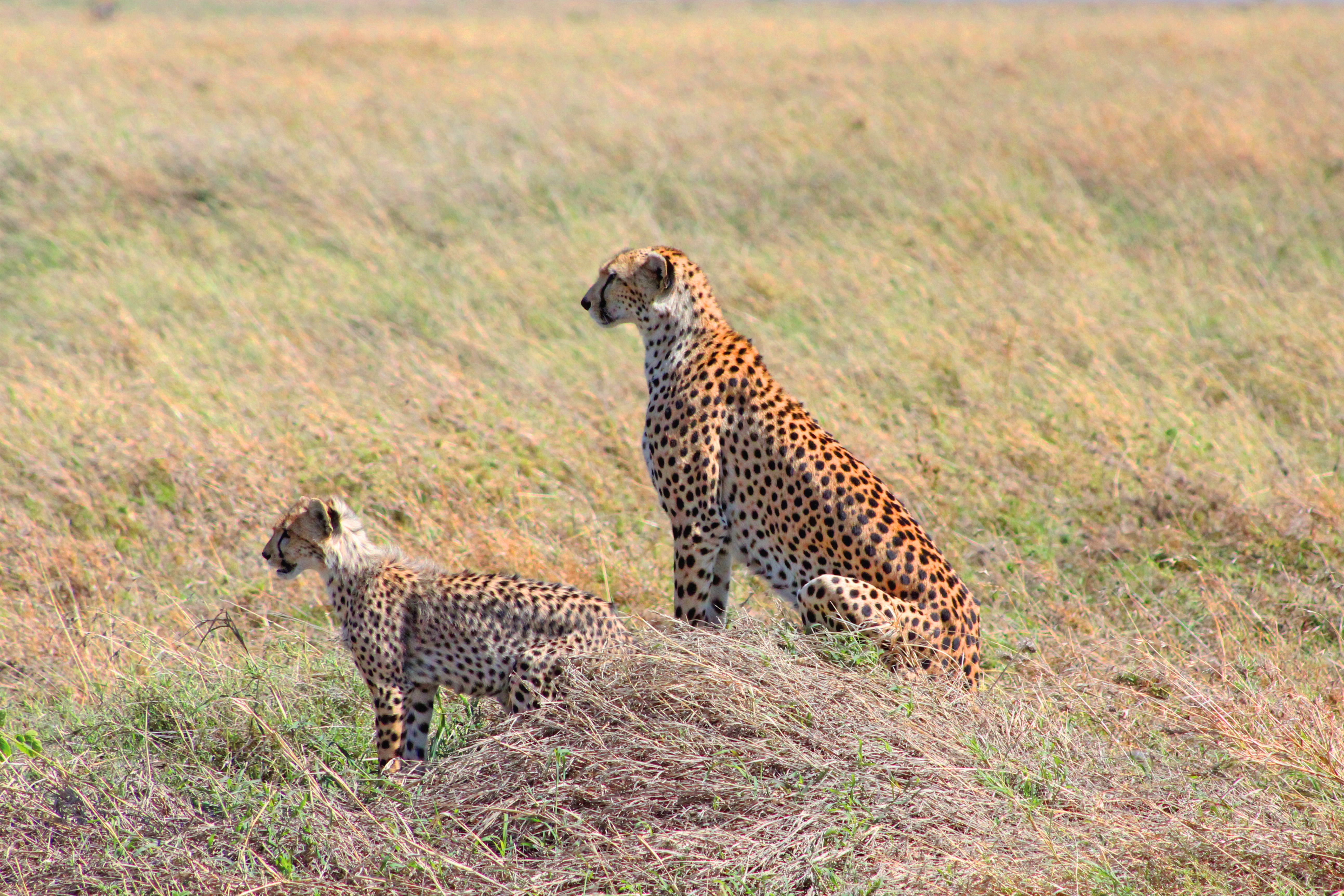 two leopards near green and brown grass