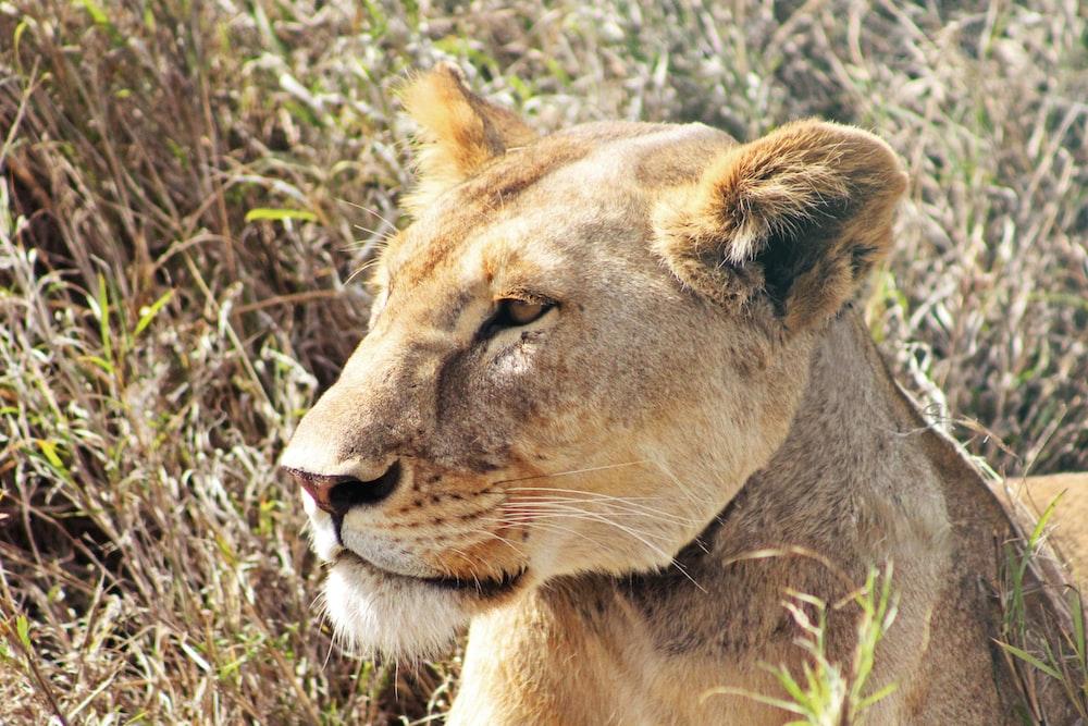 female lion on grass field