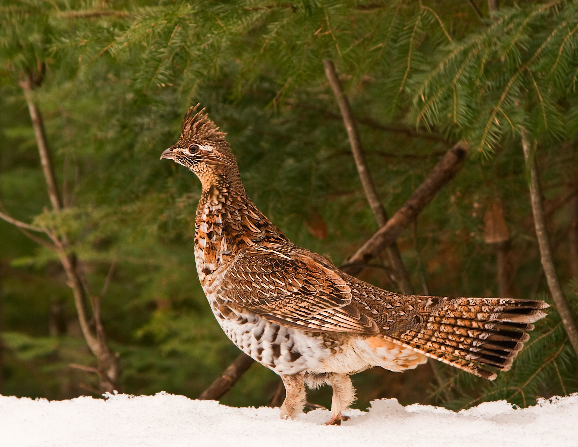 Aspen Forests Provide Great Habitat for Ruffed Grouse