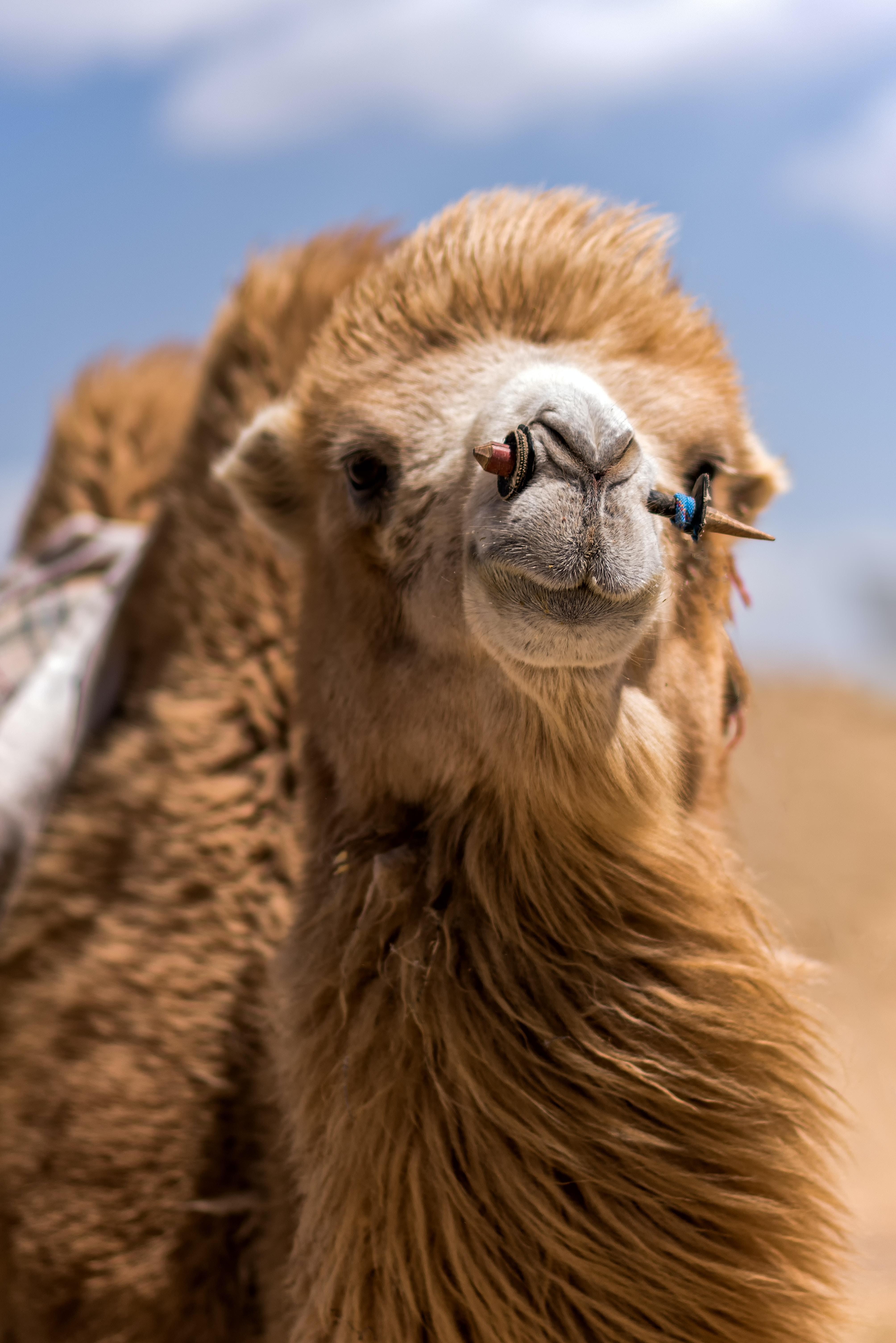 closeup photo of brown camel during daytime