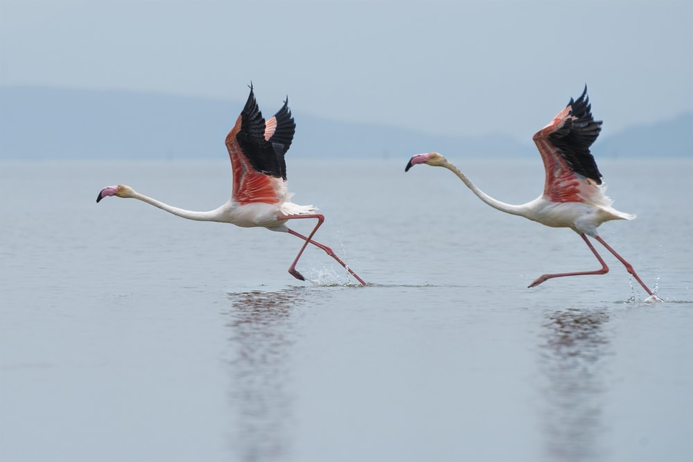 two white-and-pink flamingoes running on water