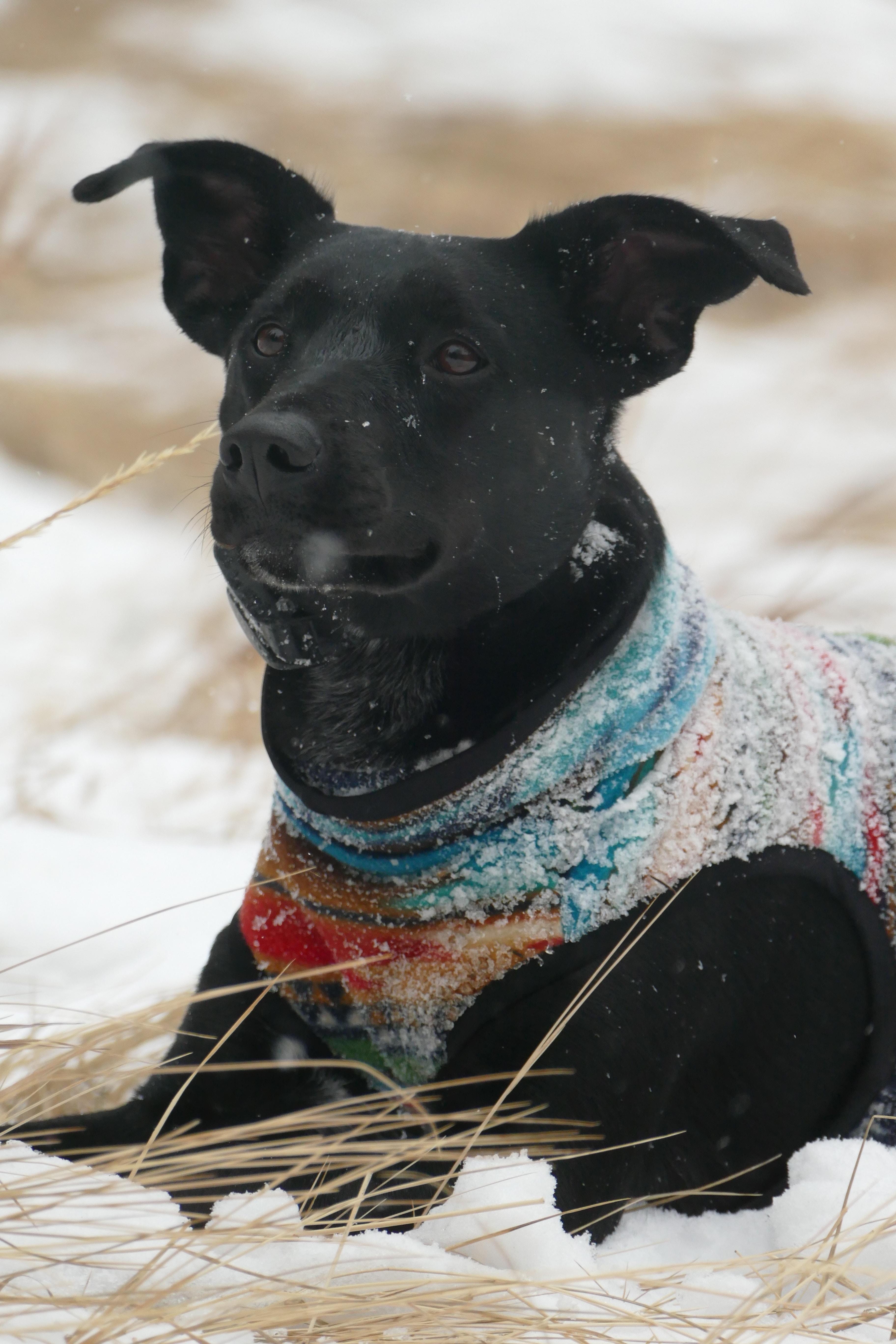 black dog lying on snowy grass