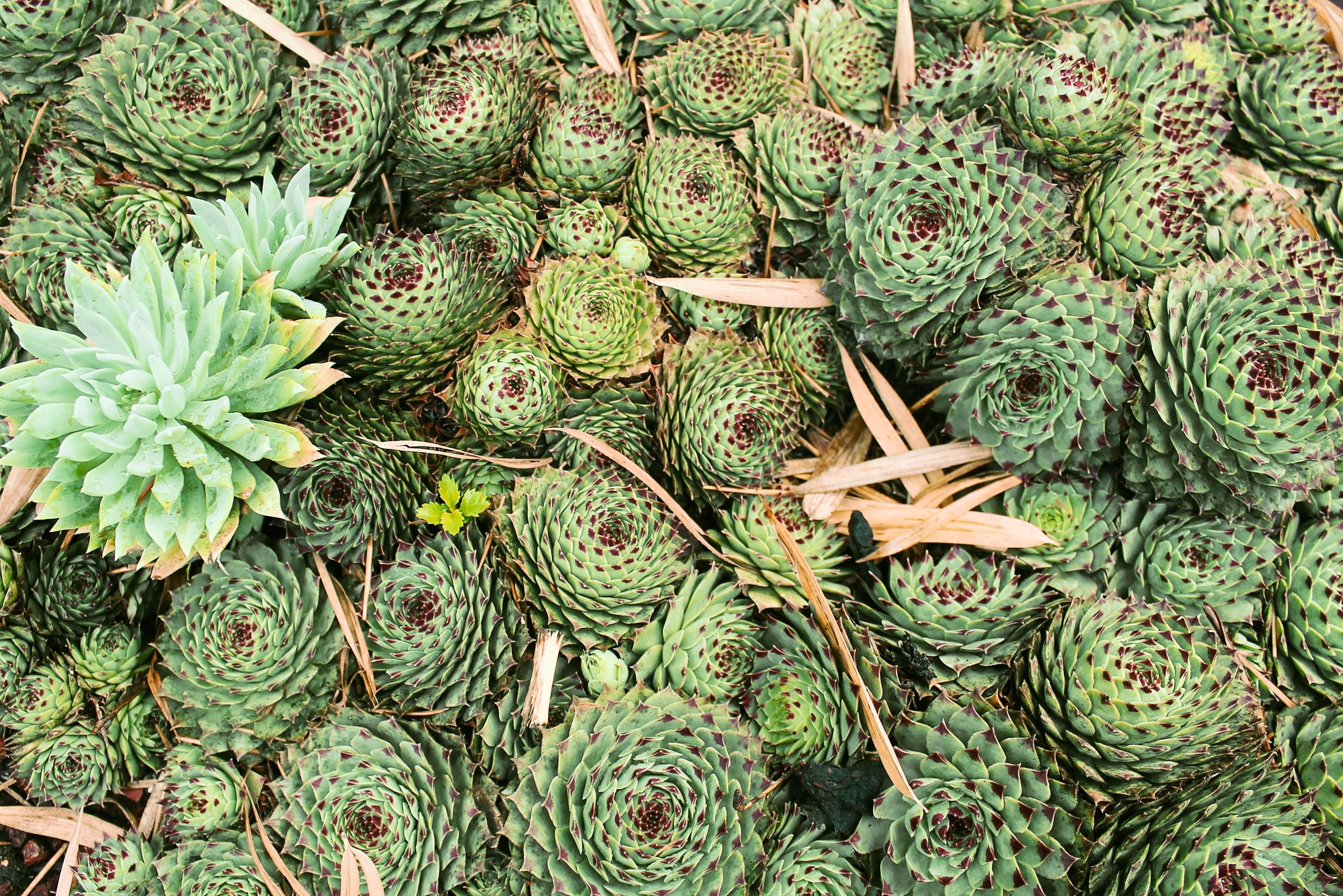 green pine cone lot