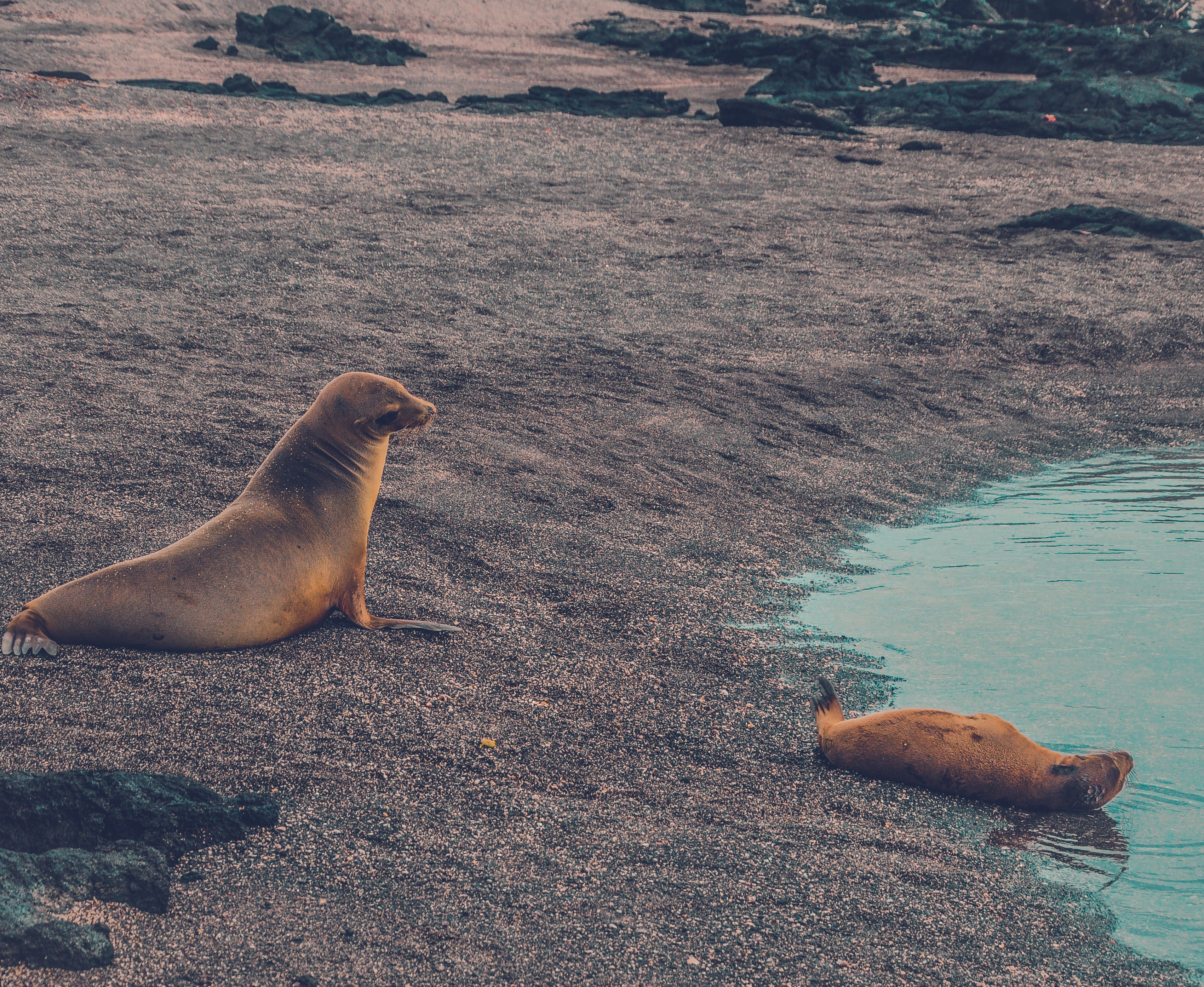 two brown sea lion near body of water at daytime