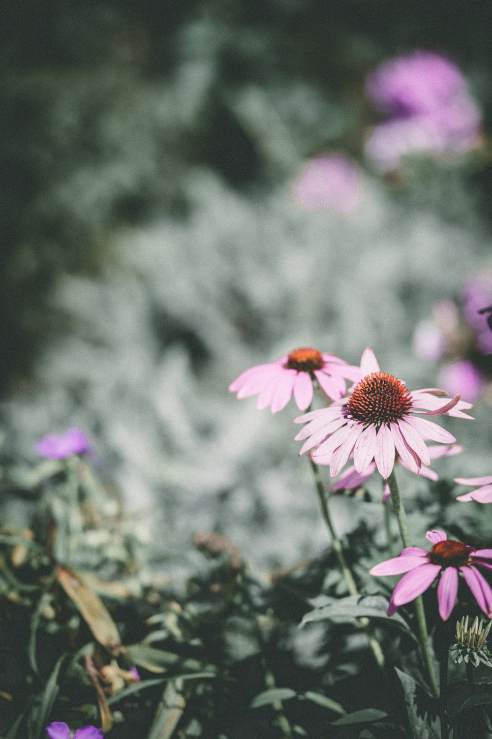 selective focus photography pink petaled daisy flower