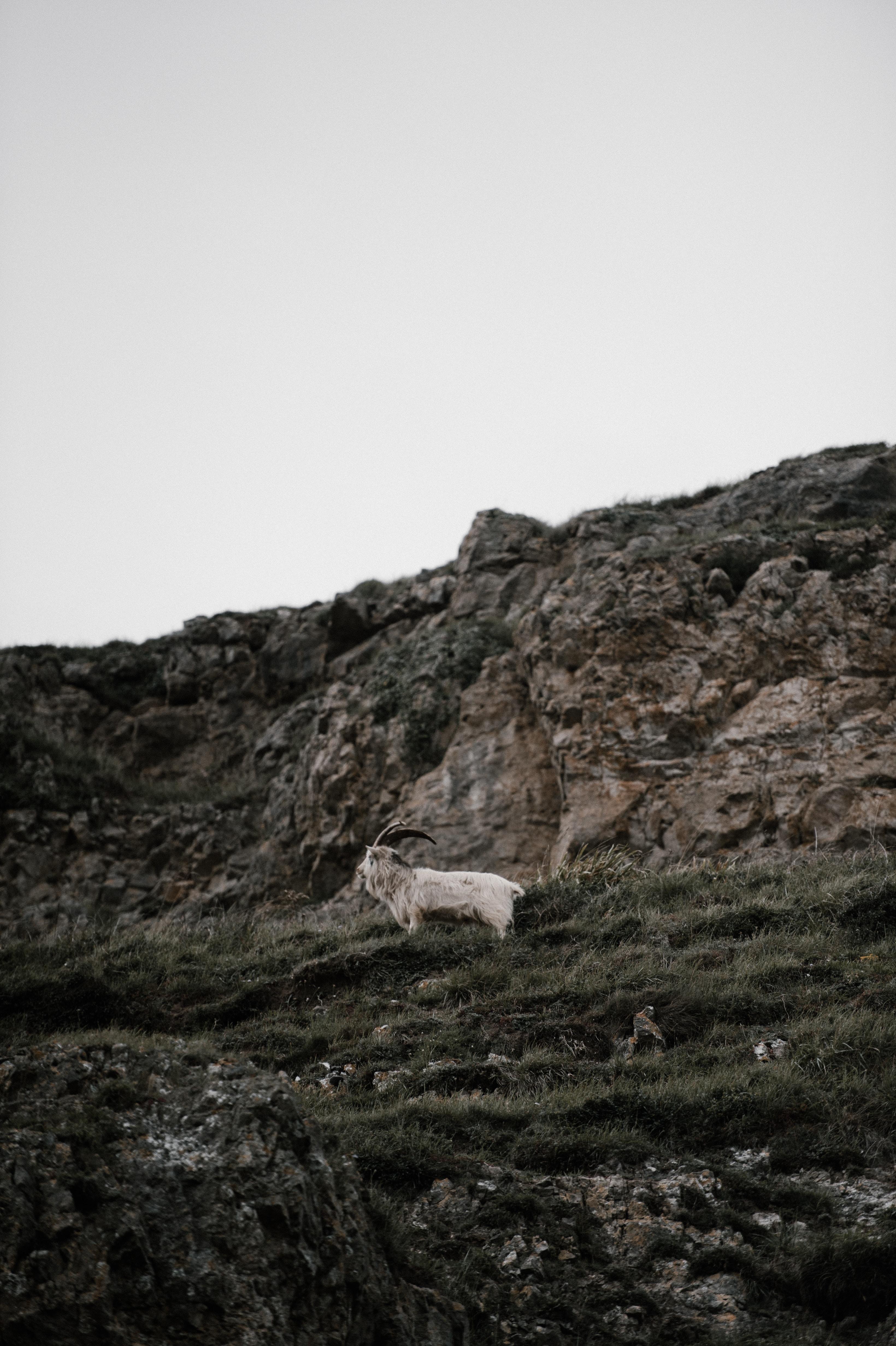 white goat on green grass