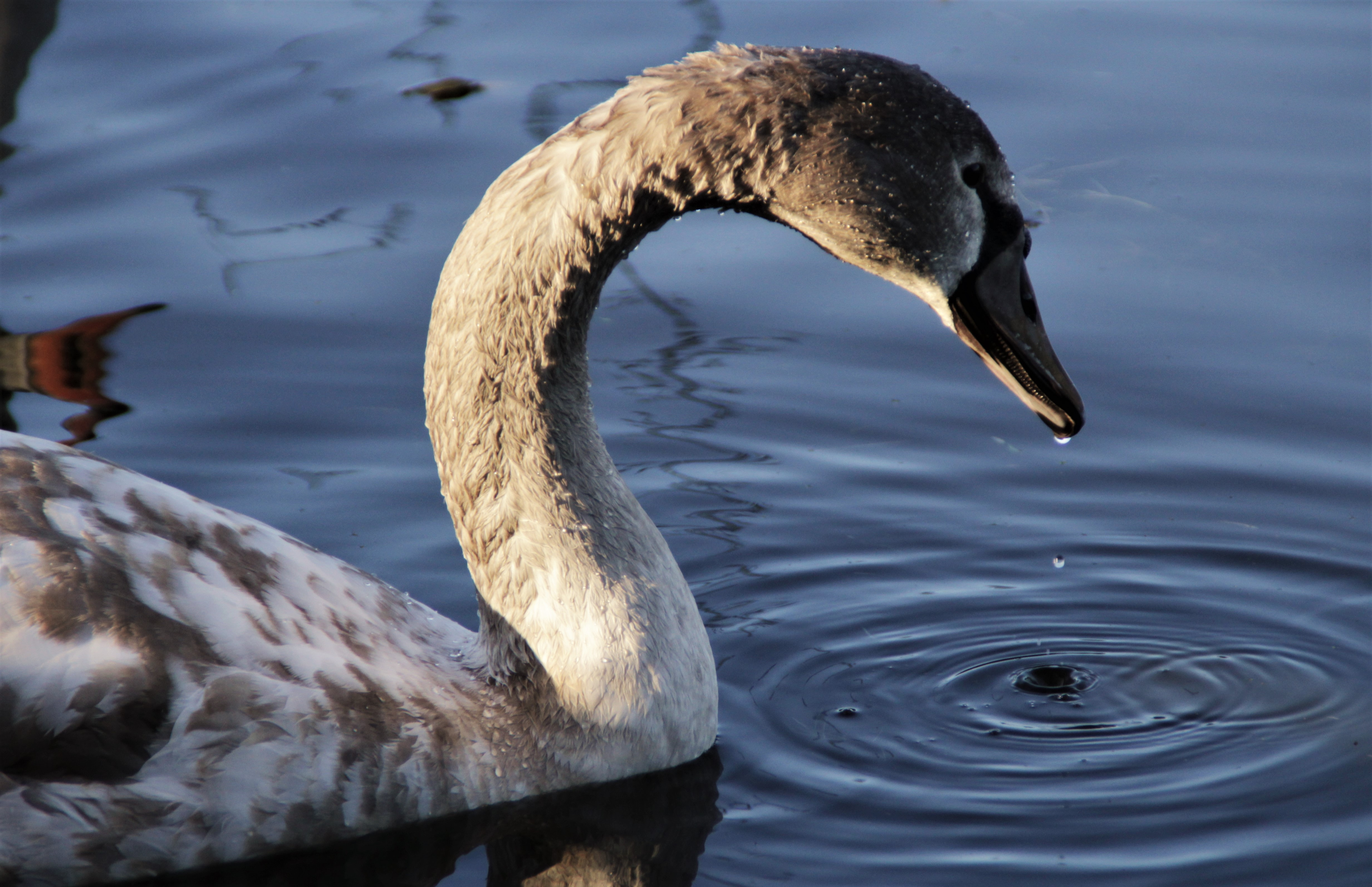 closeup photo of goose on body of water